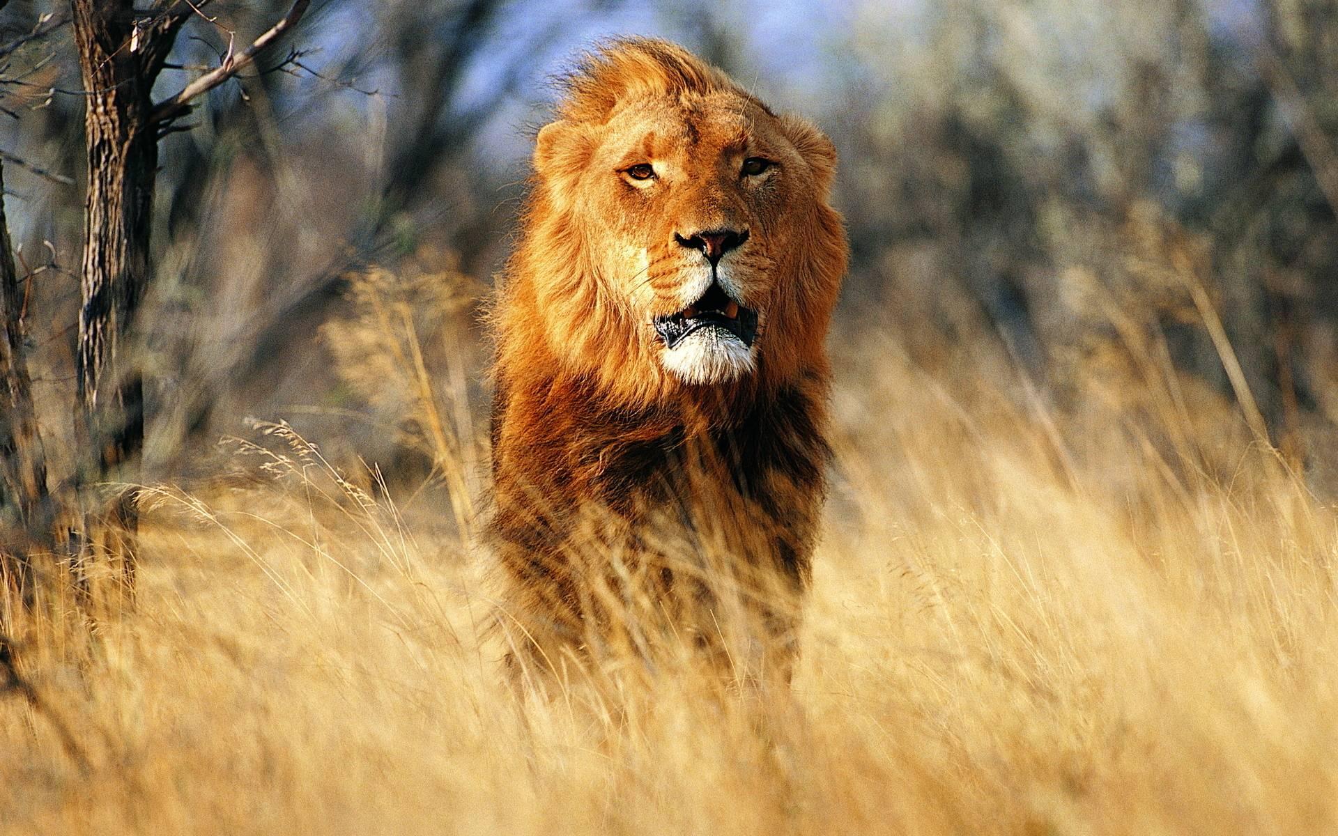 Wallpaper download lion - Download Lion Desktop Wallpaper Wallpapercapital