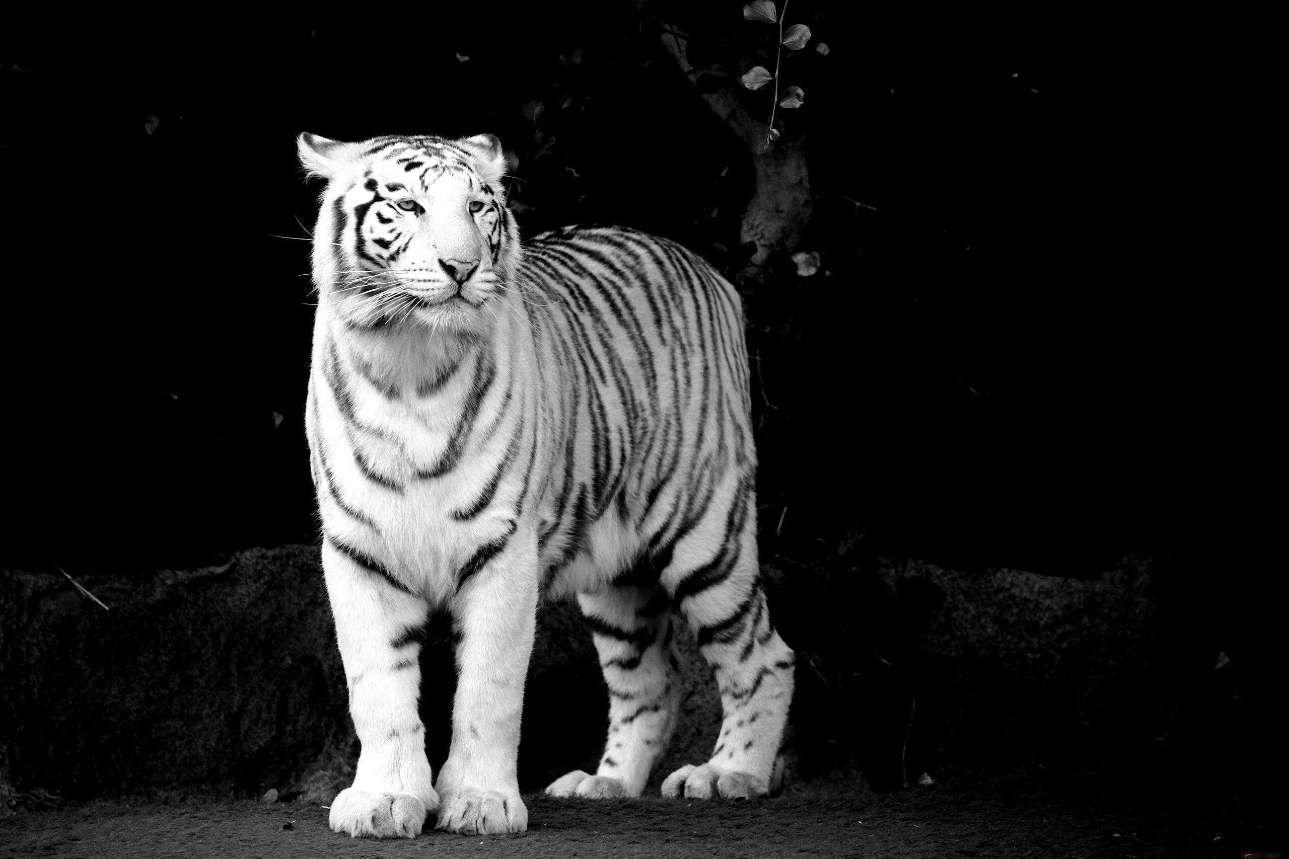 Black And White Tiger Background White Tiger Background...
