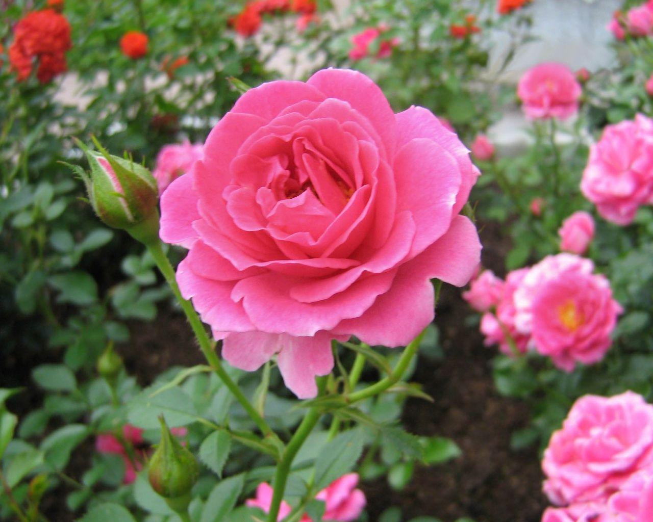 Home Ideas For > Pink Rose Garden Wallpapers