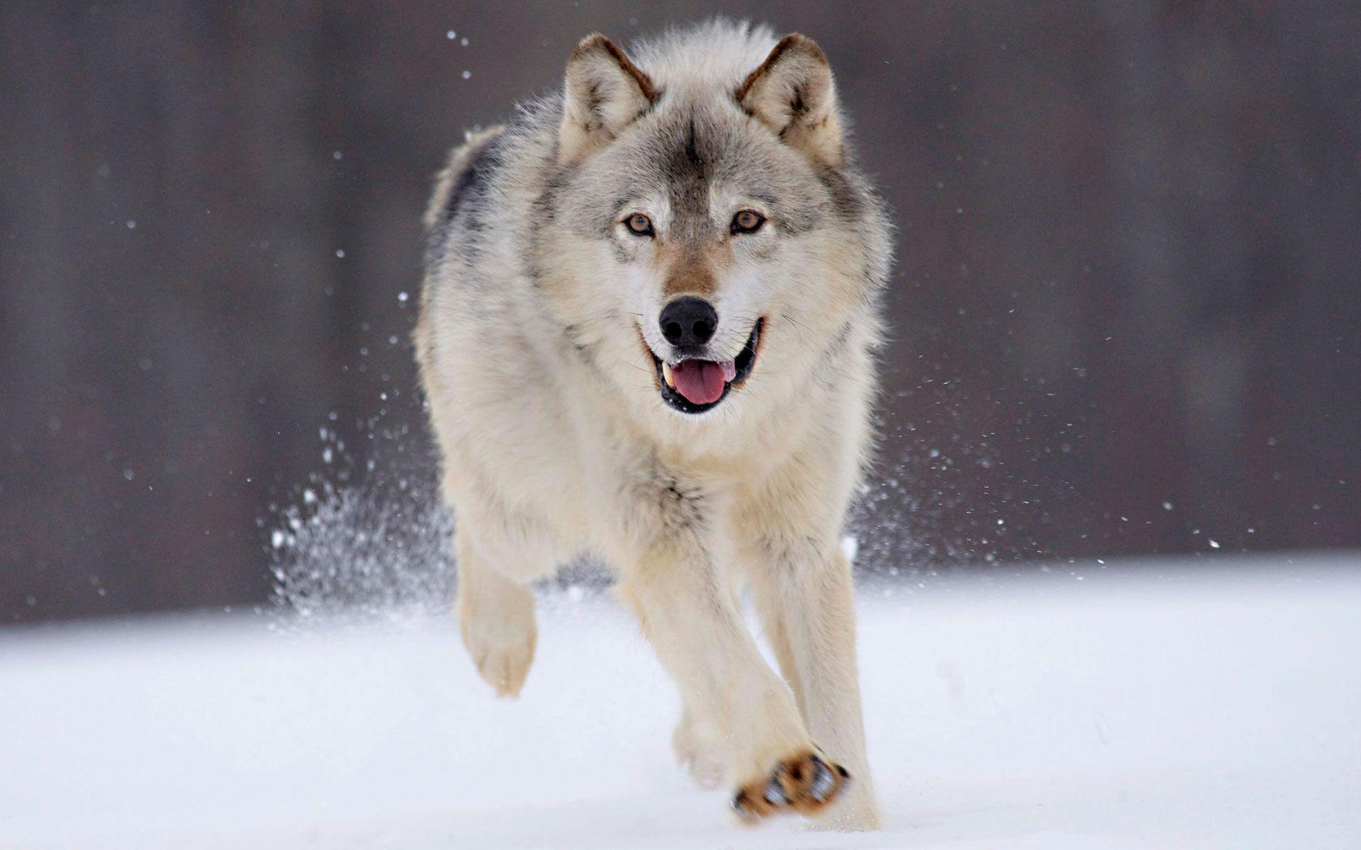 Wallpaper Hd Wolf Images 6 HD Wallpapers | Hdwalljoy.