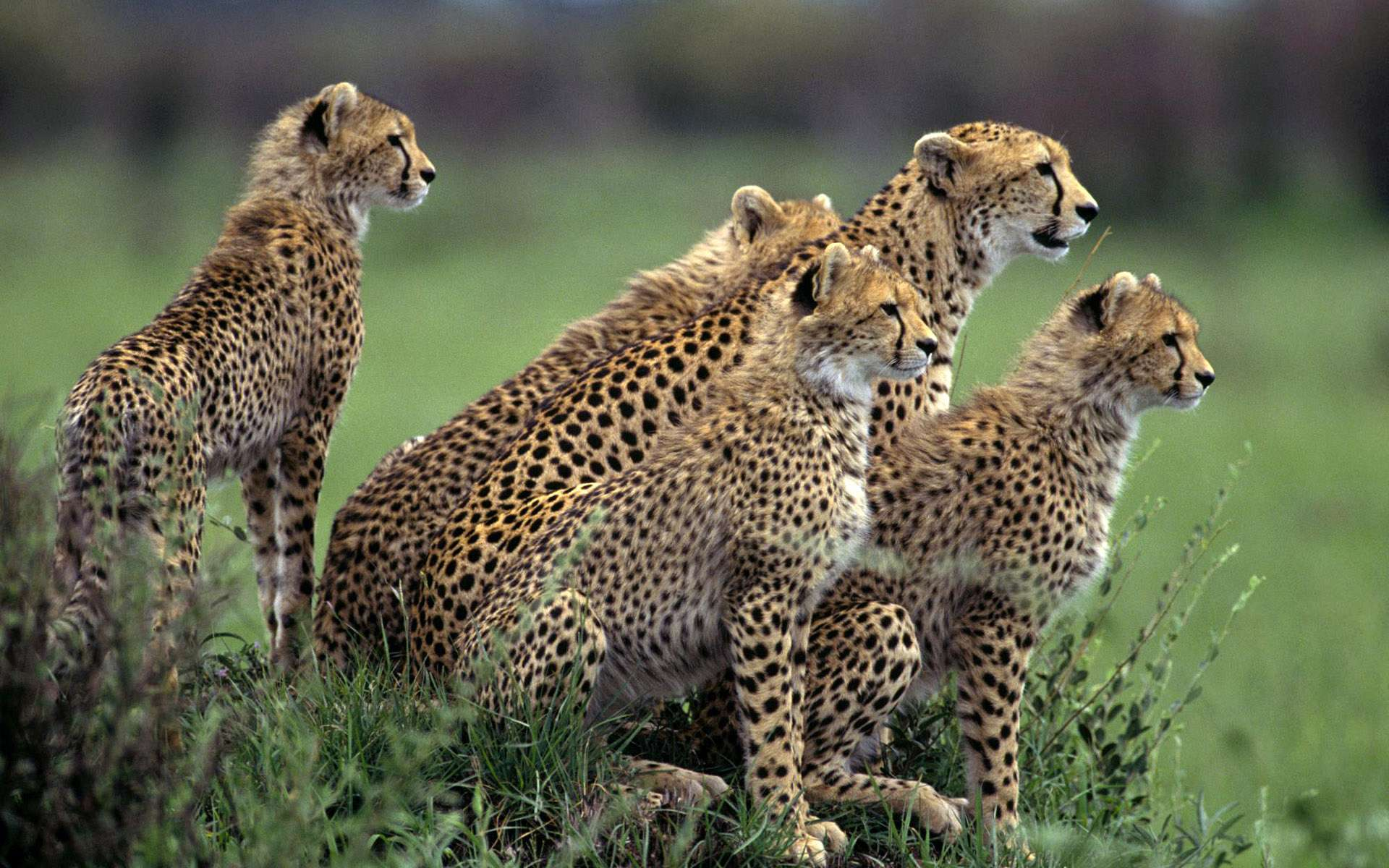 The Cheetah Orphans Download Wallpaper Nature 1024x786PX ...