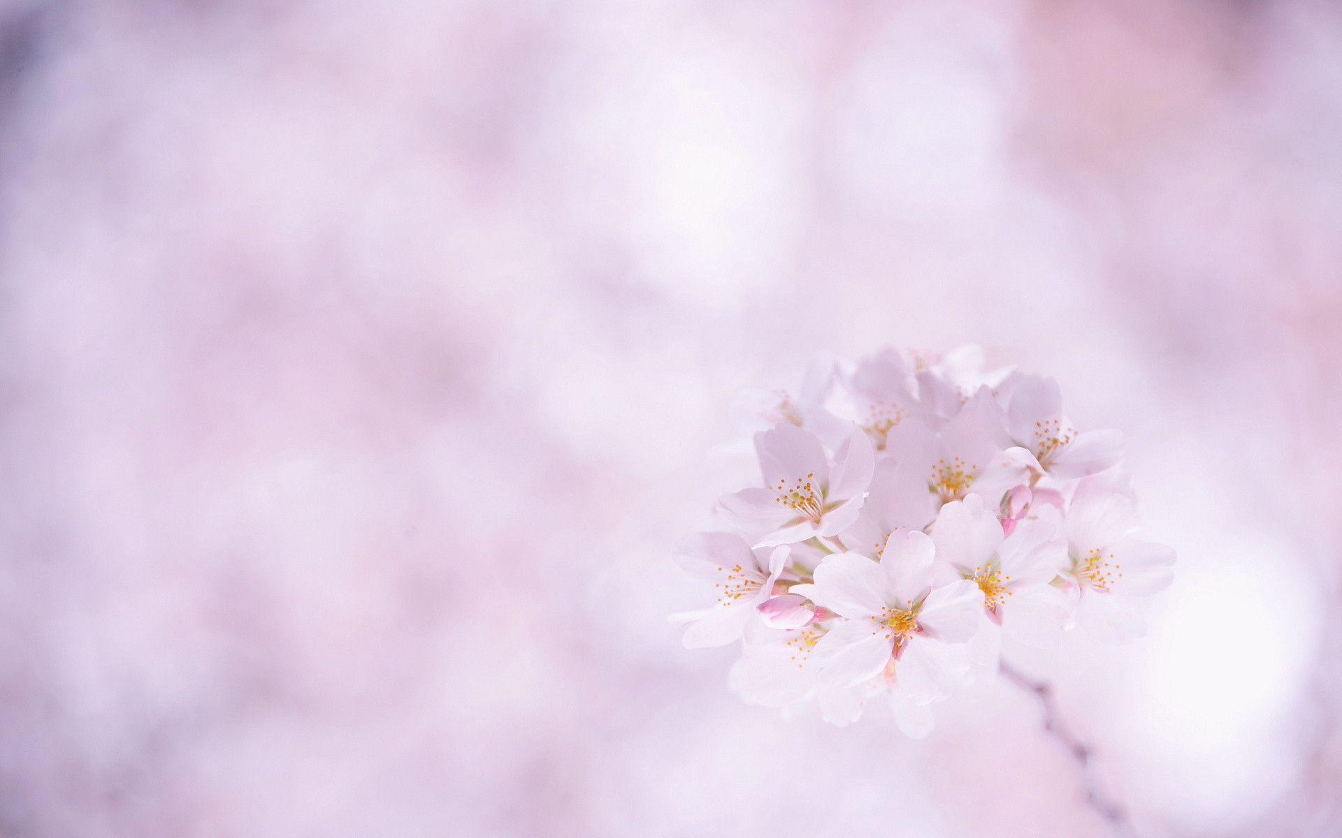 Sakura Flower wallpaper - 832434