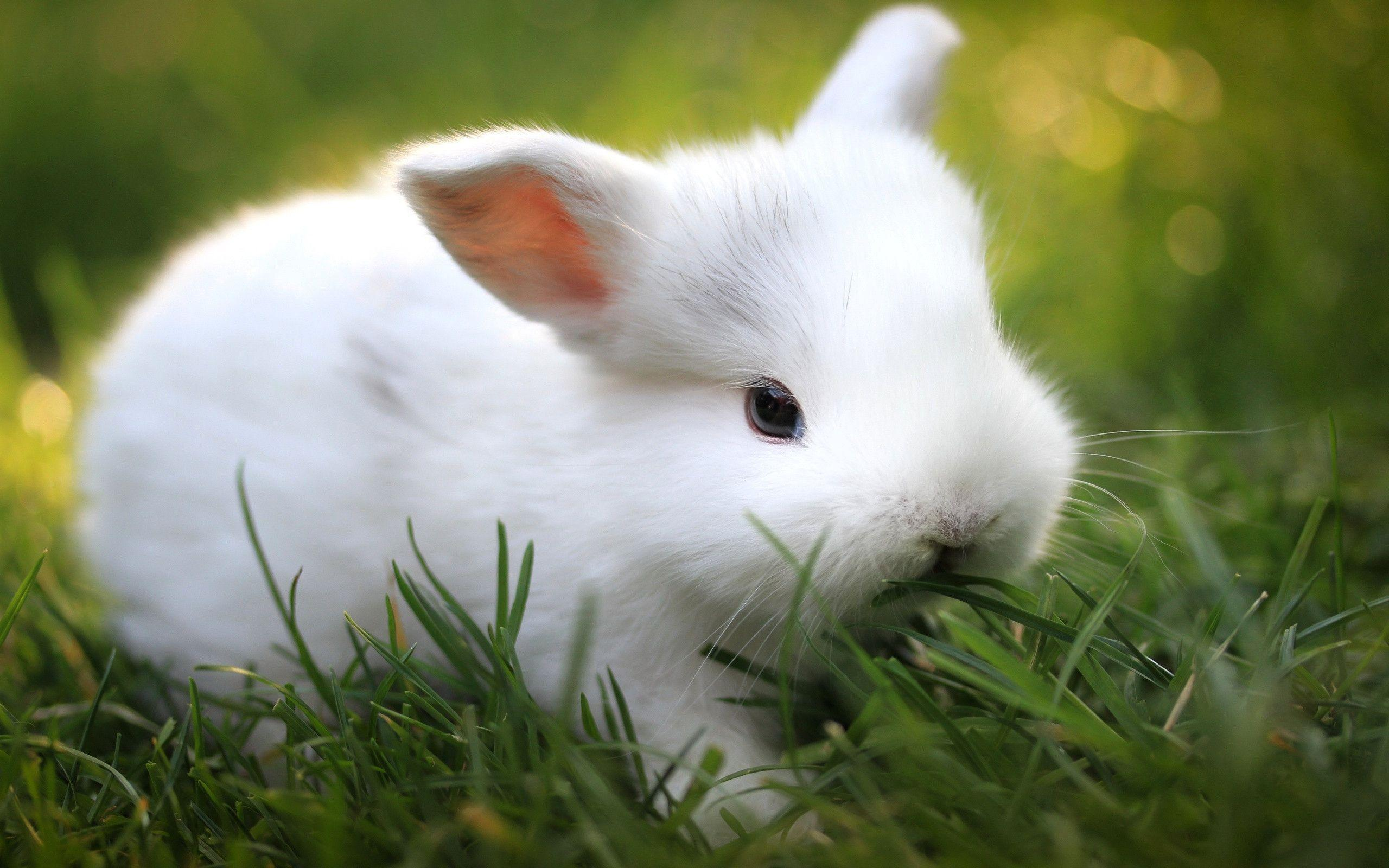 Rabbit Wallpapers - HD Wallpapers Inn