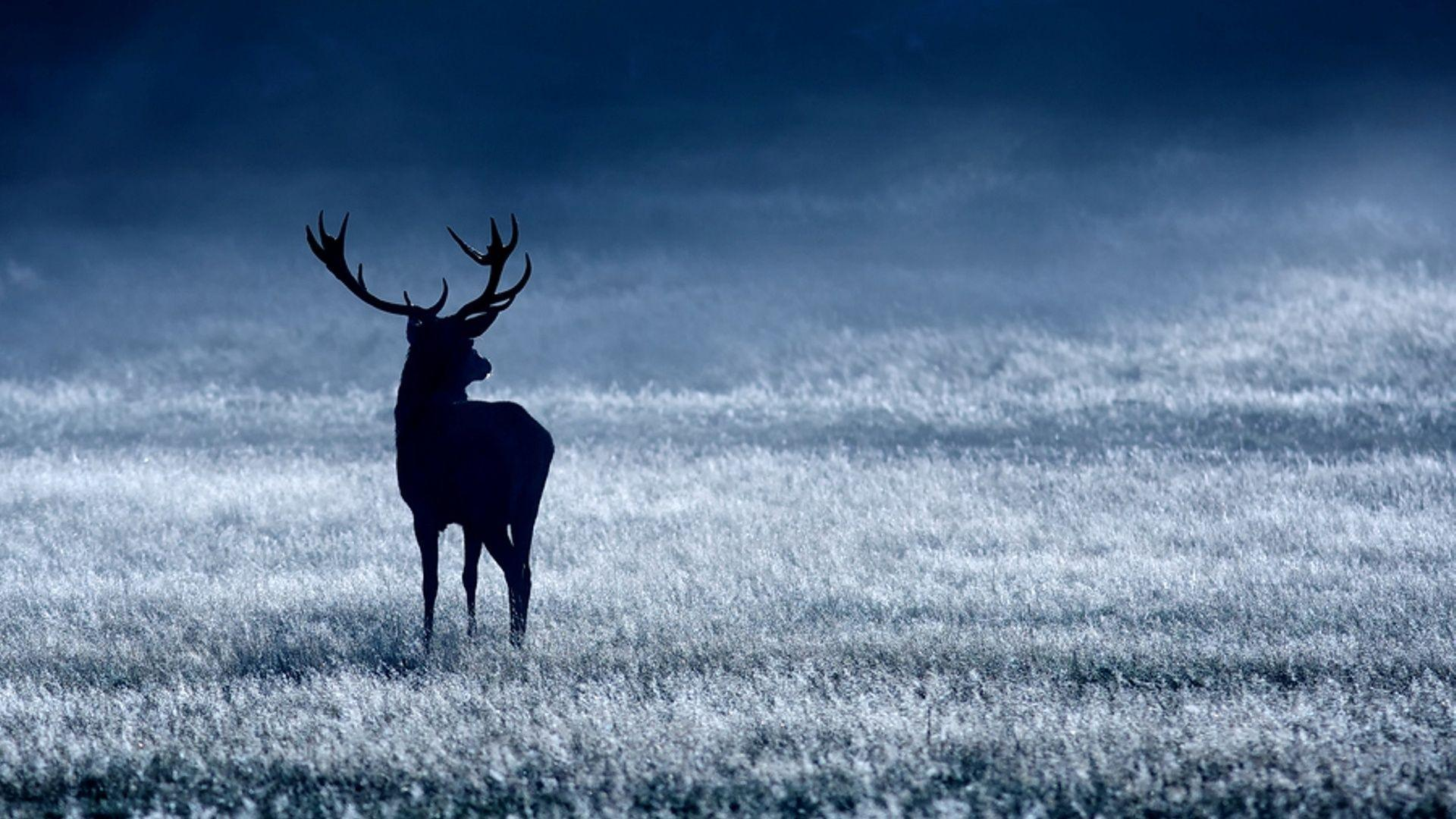 animal deer wallpaper 1920x1080 - photo #40