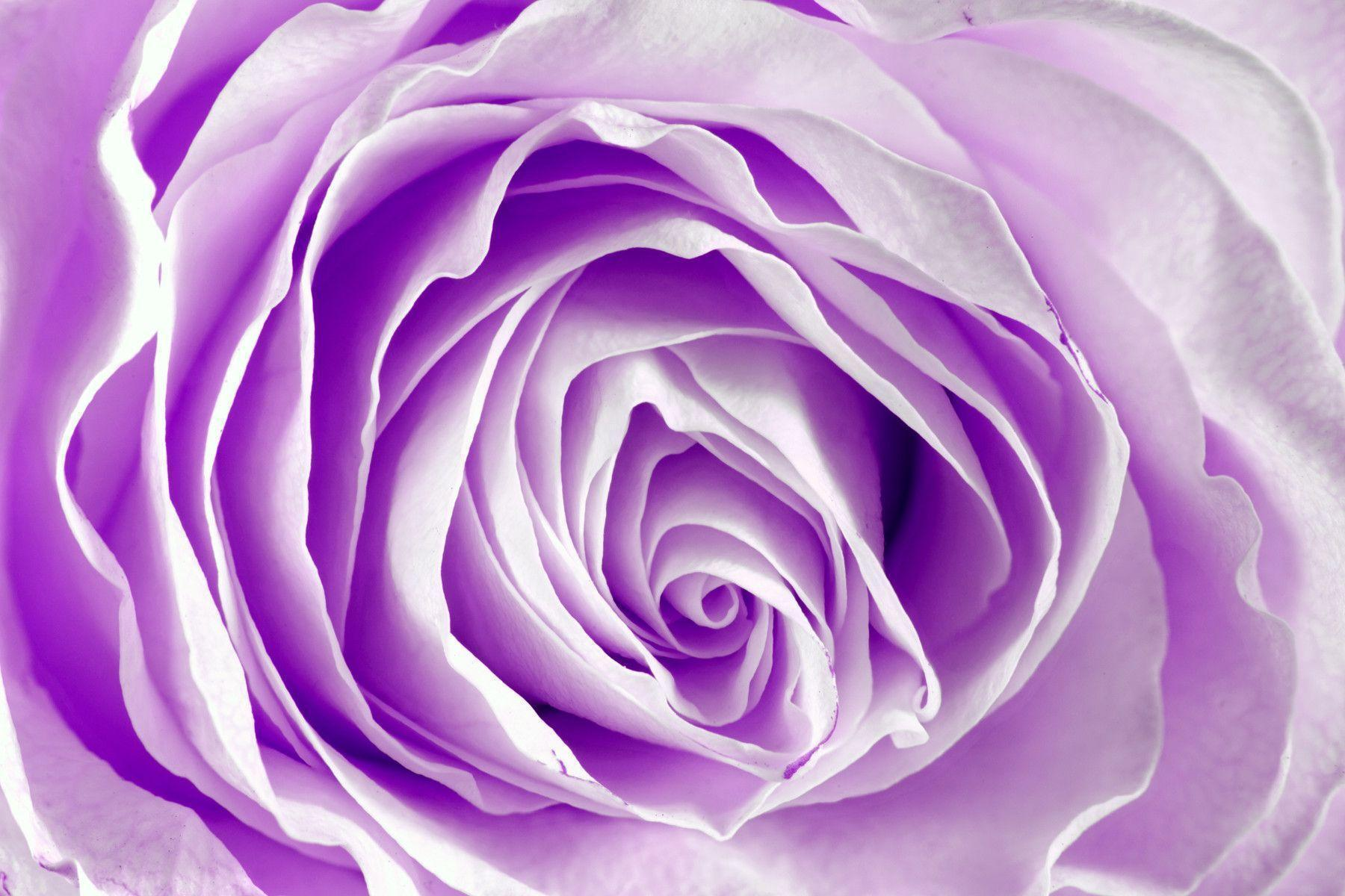Purple rose backgrounds wallpaper cave for Purple rose pictures