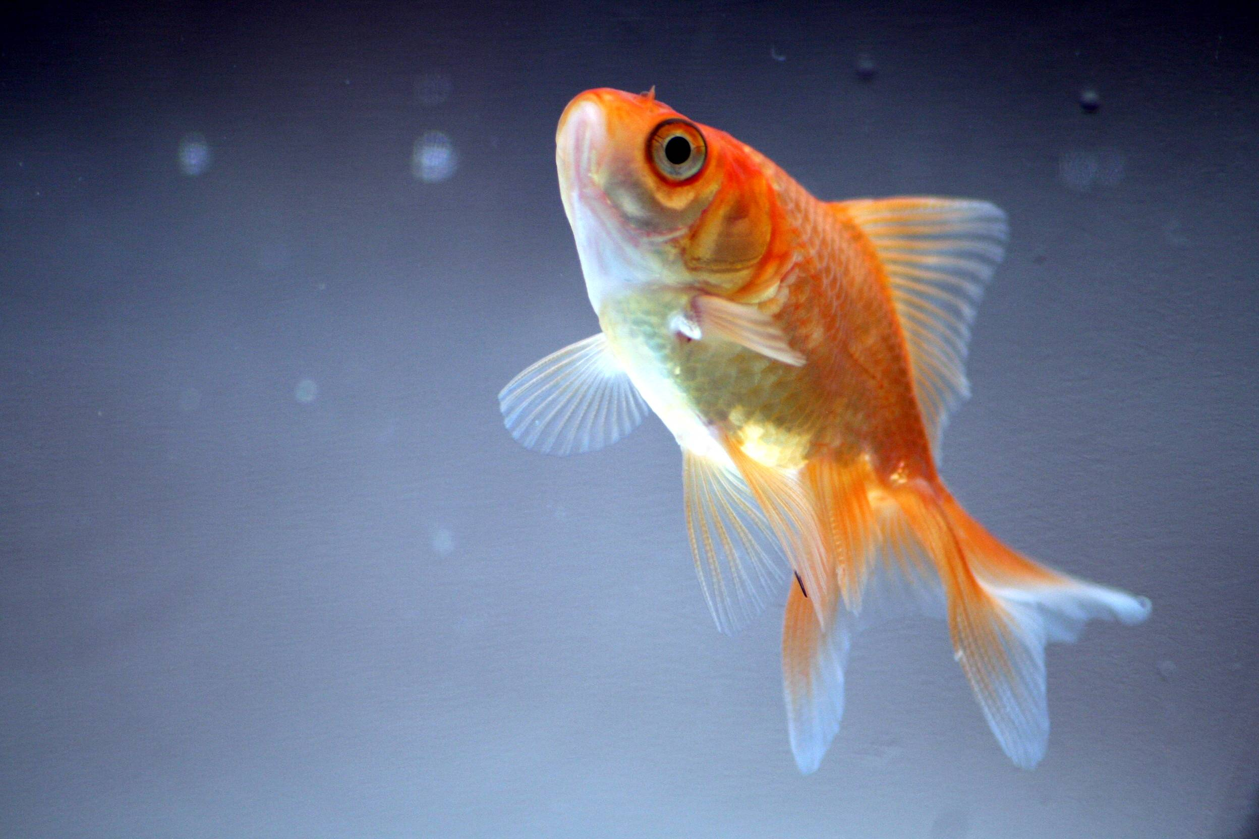 Goldfish wallpapers wallpaper cave for Enfermedades de peces goldfish