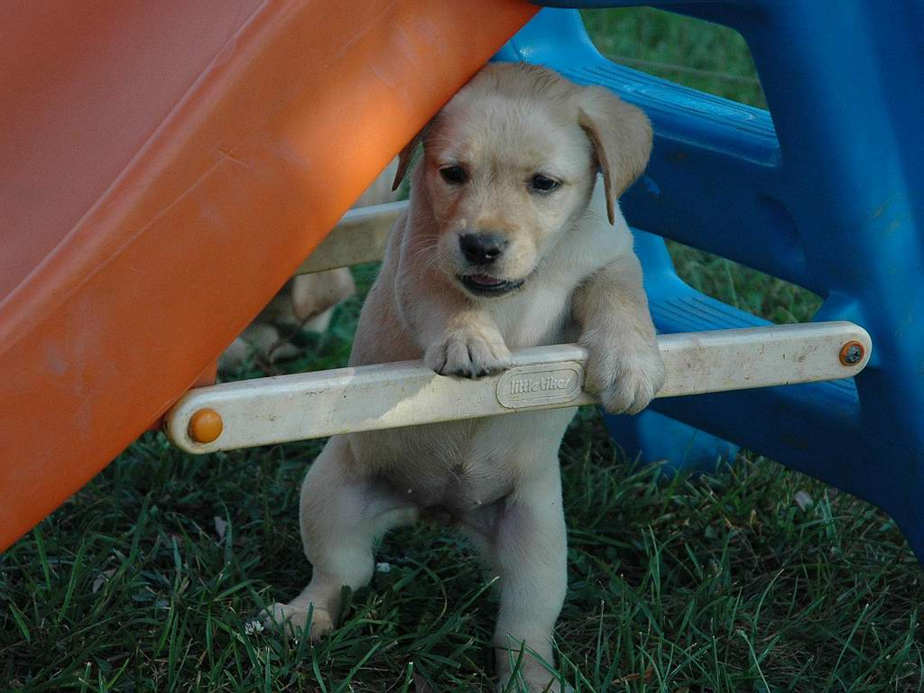 yellow lab puppy wallpaper - photo #6