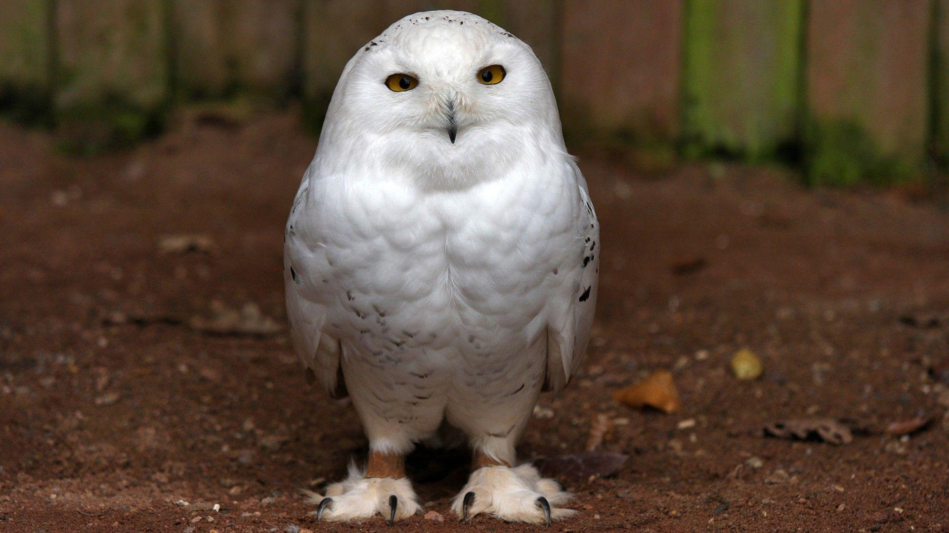White Owl Wallpapers Wallpaper Cave