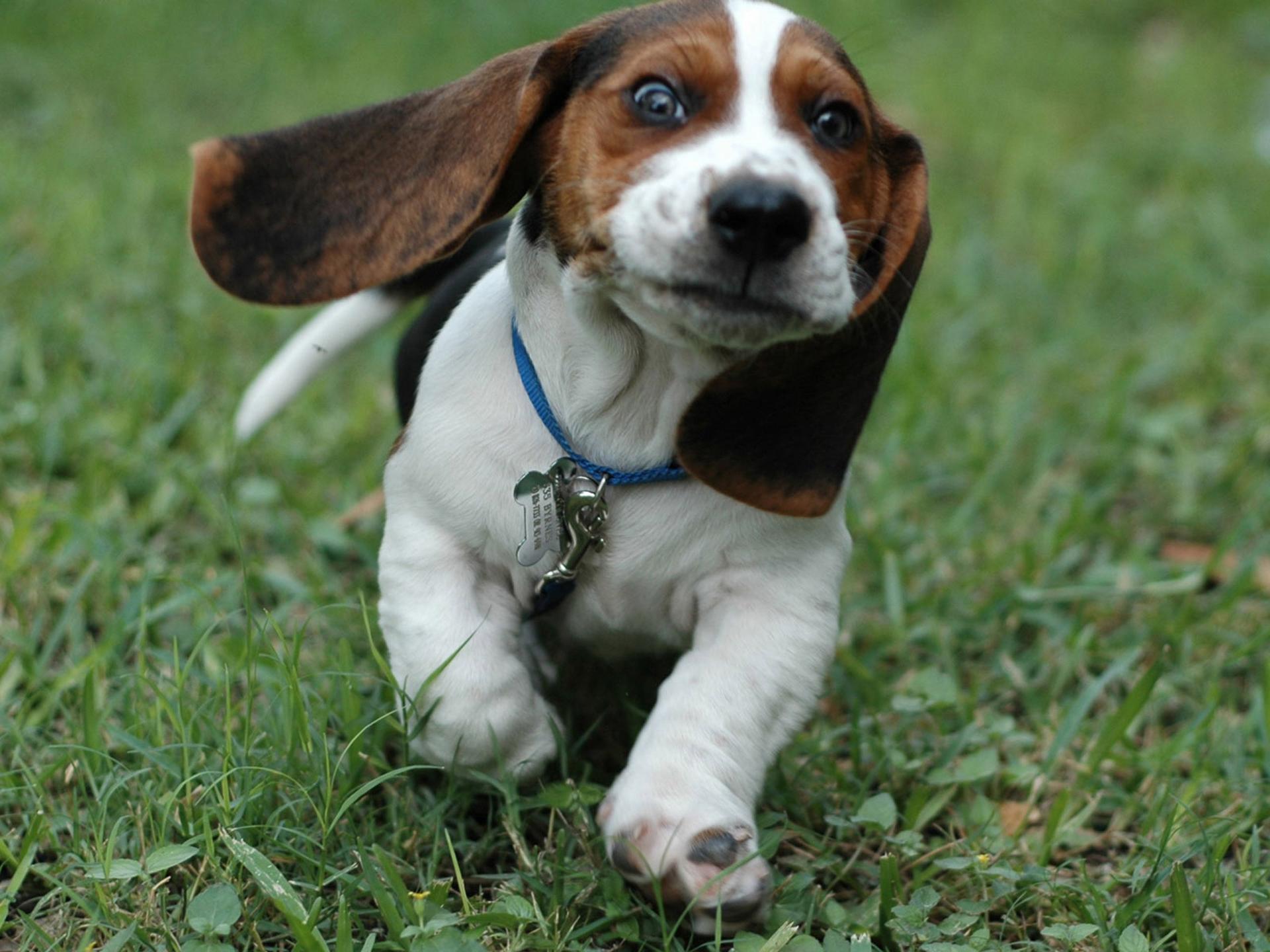 Puppy Eyes Beagle HD Desktop Wallpaper for K Ultra HD TV