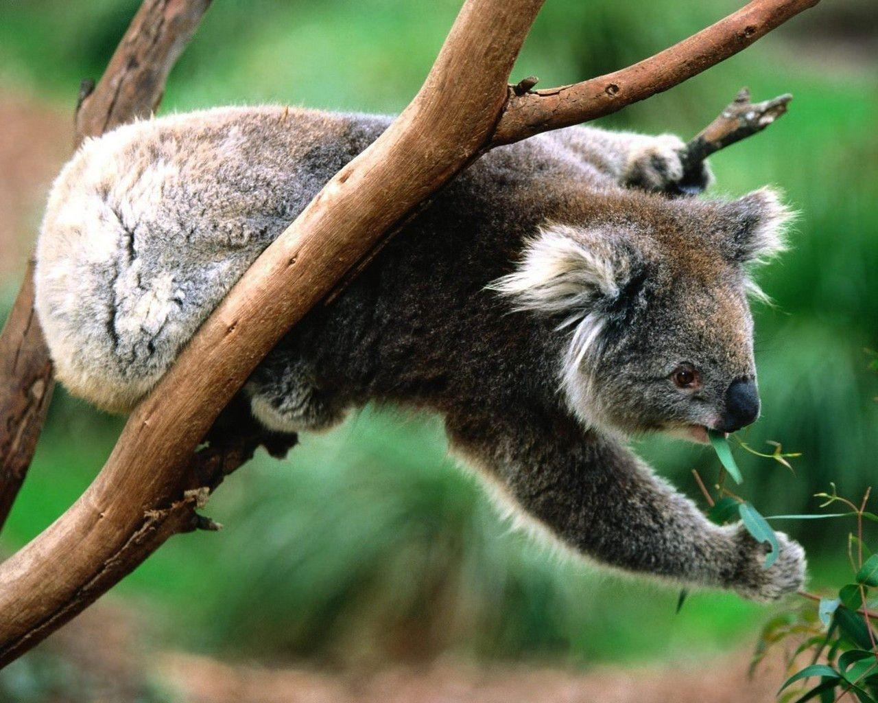 koala wallpaper 1280 WallpaperSuggest.
