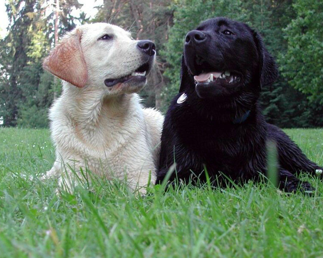 Black Lab Puppy Wallpapers - Wallpaper Cave