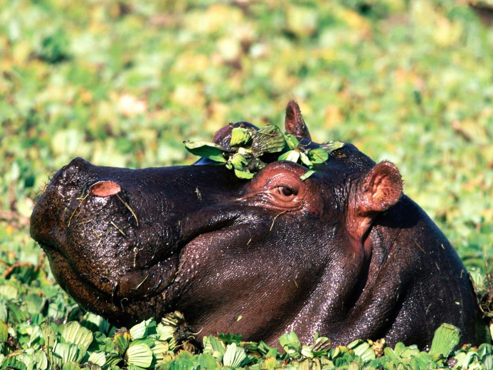 animal hippo wallpaper 1600x1200 - photo #25