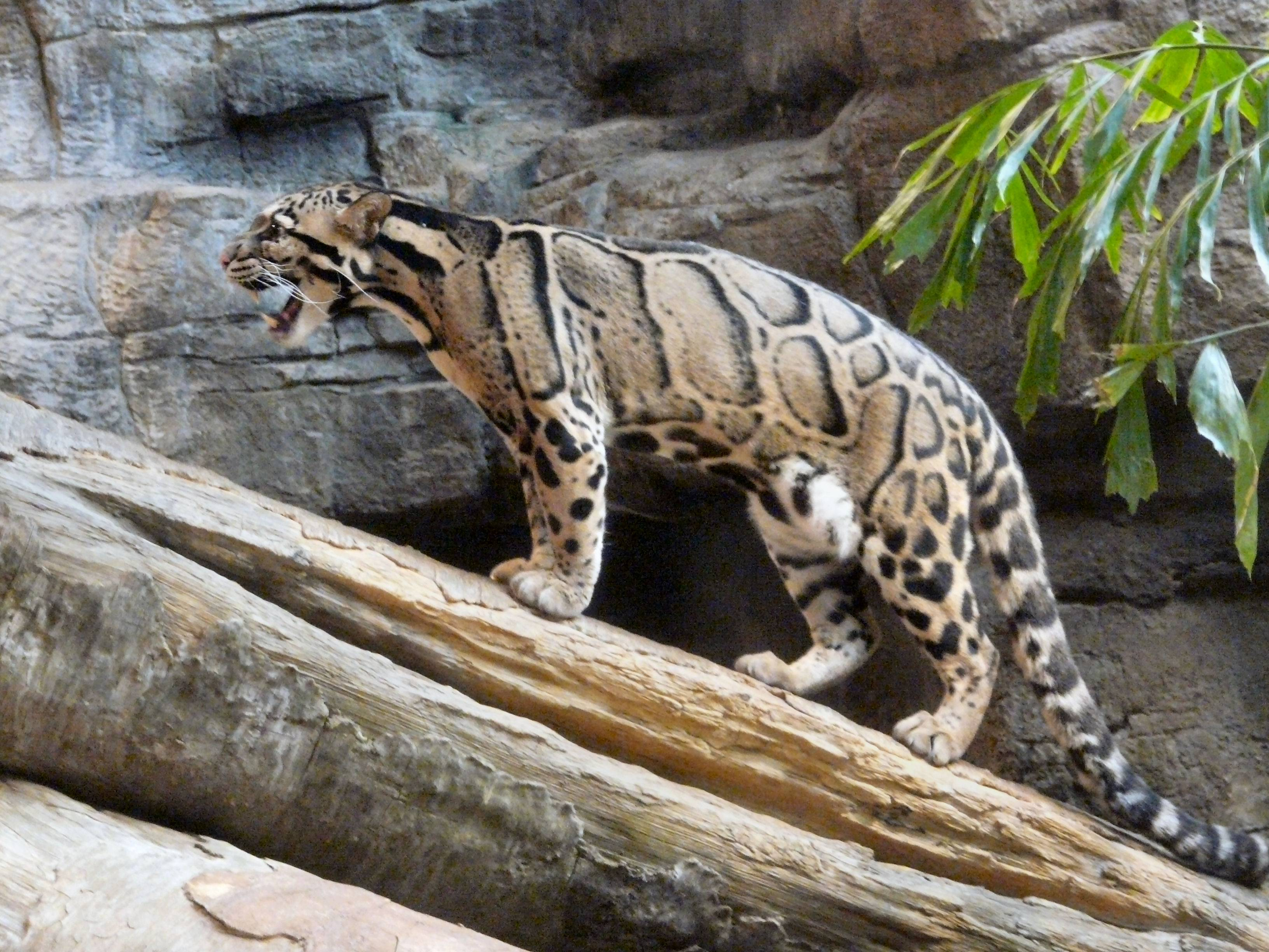 clouded leopard wallpaper - photo #8
