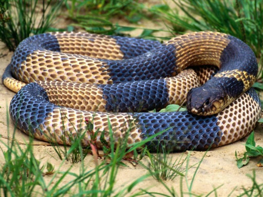 Snake Wallpapers (Wallpaper 1-24 of 36)