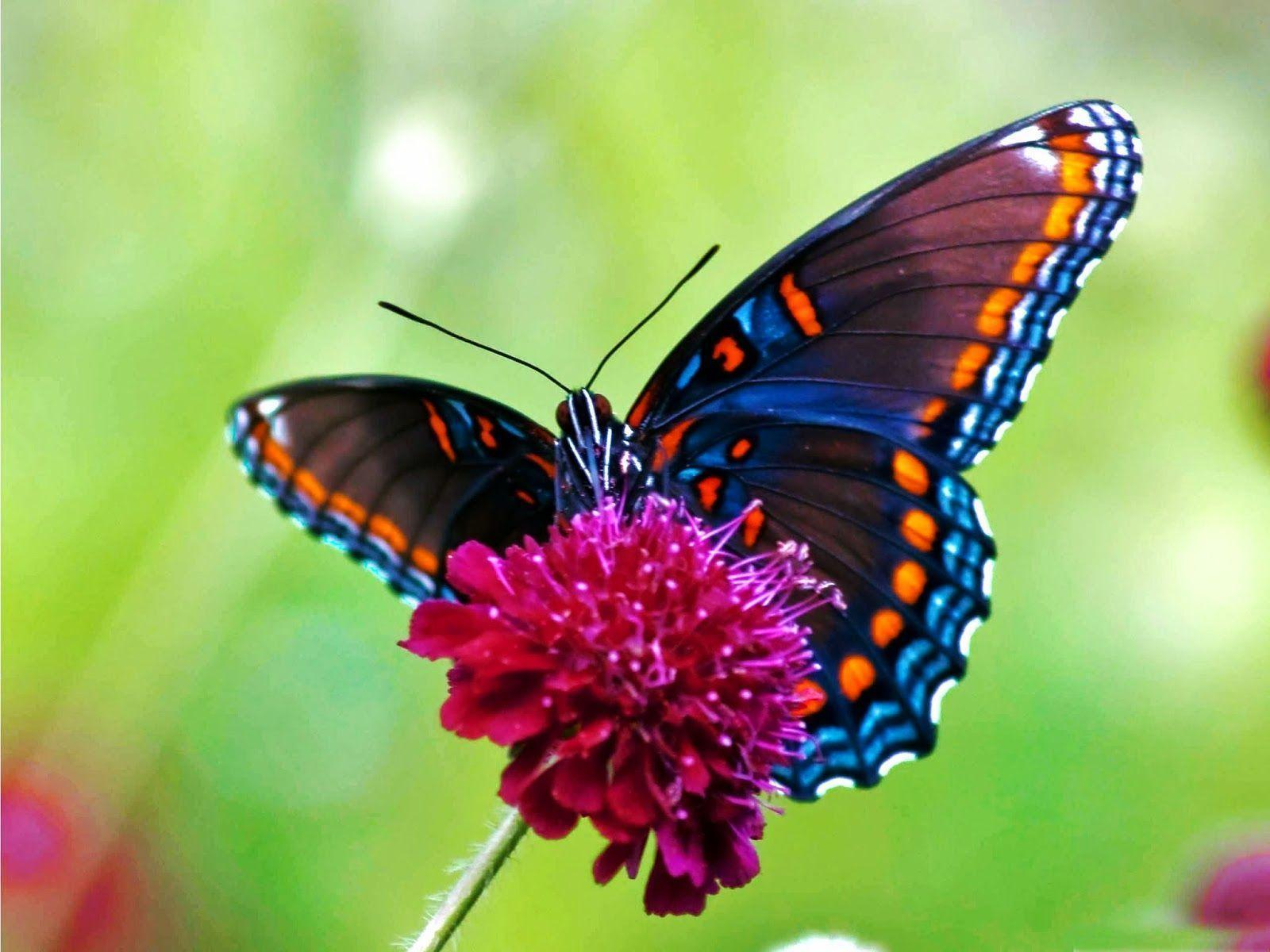 Images Wallpaper » Butterfly Wallpaper
