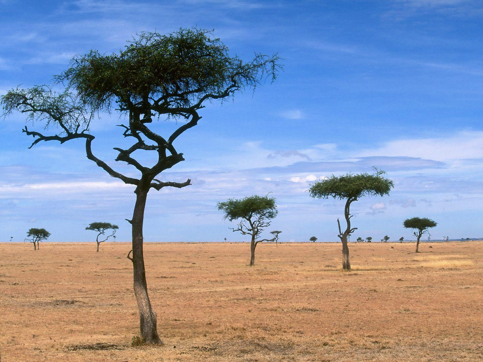 Scattered Acacia Trees / Kenya / Africa wallpapers and images ...