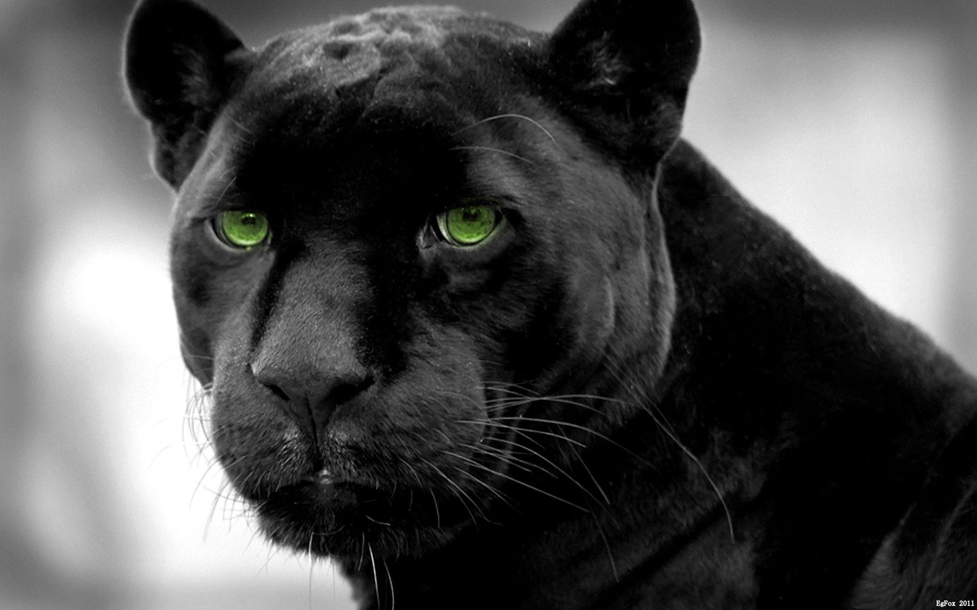 Animal <b>Wallpaper</b>: <b>Panther</b> Eyes <b>Wallpapers</b> High Resolution Free ...