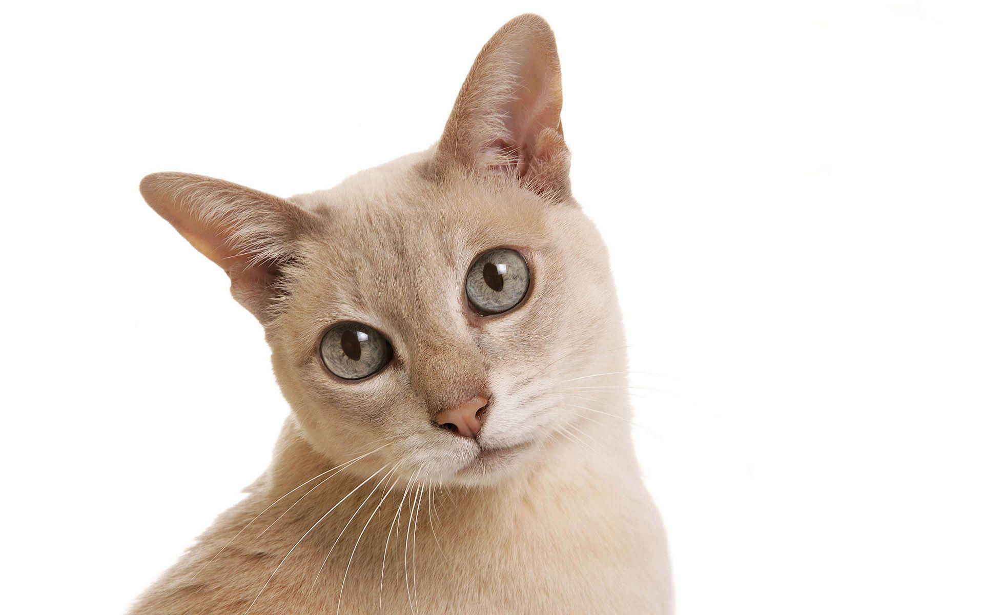 White Cat, Black Face, White Background   Flickr - Photo ...  White Cats Blue Background