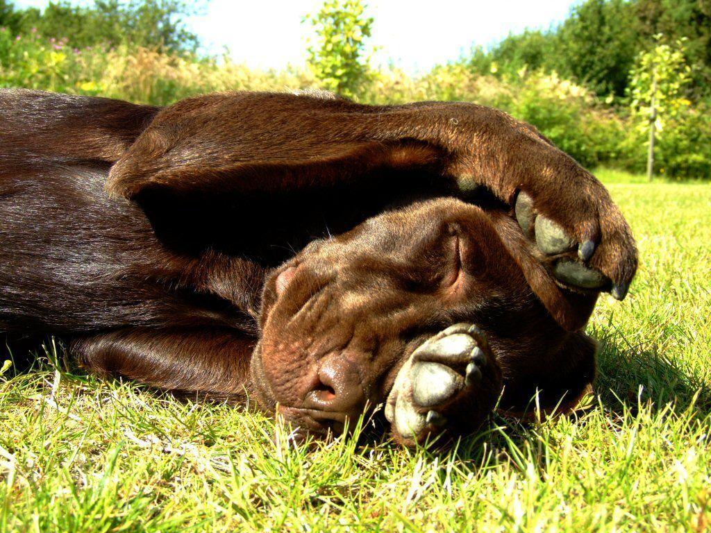 Chocolate Lab Photos / Desktop Backgrounds / Wallpapers