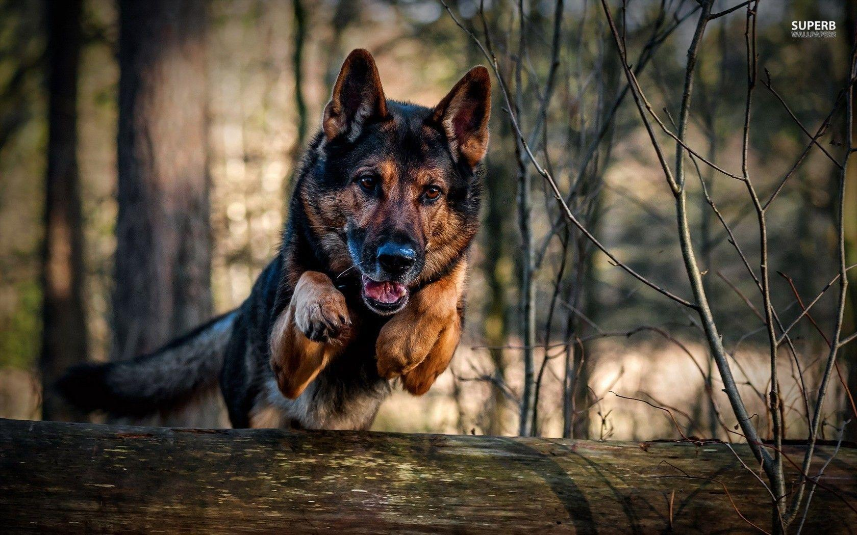 German Shepherd Wallpapers - Wallpaper Cave
