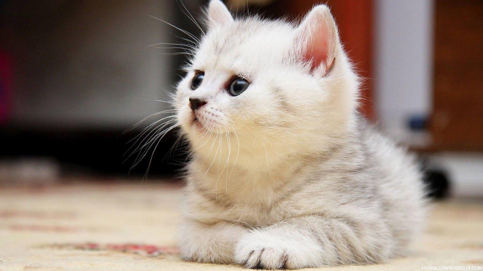 cute fluffy siamese kittens - photo #4