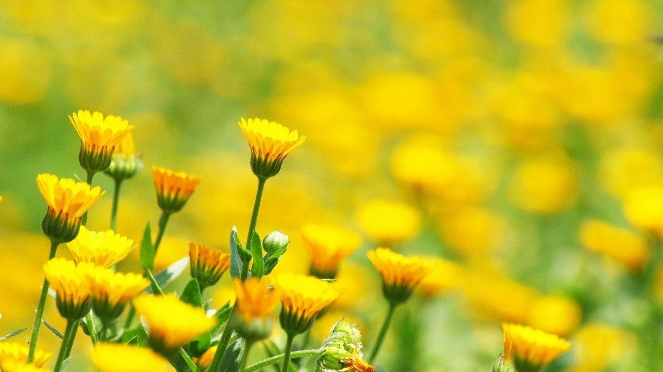 yellow flowers wallpapers pack - photo #11