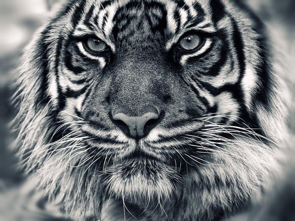8k Animal Wallpaper Download: White Tiger Wallpapers HD