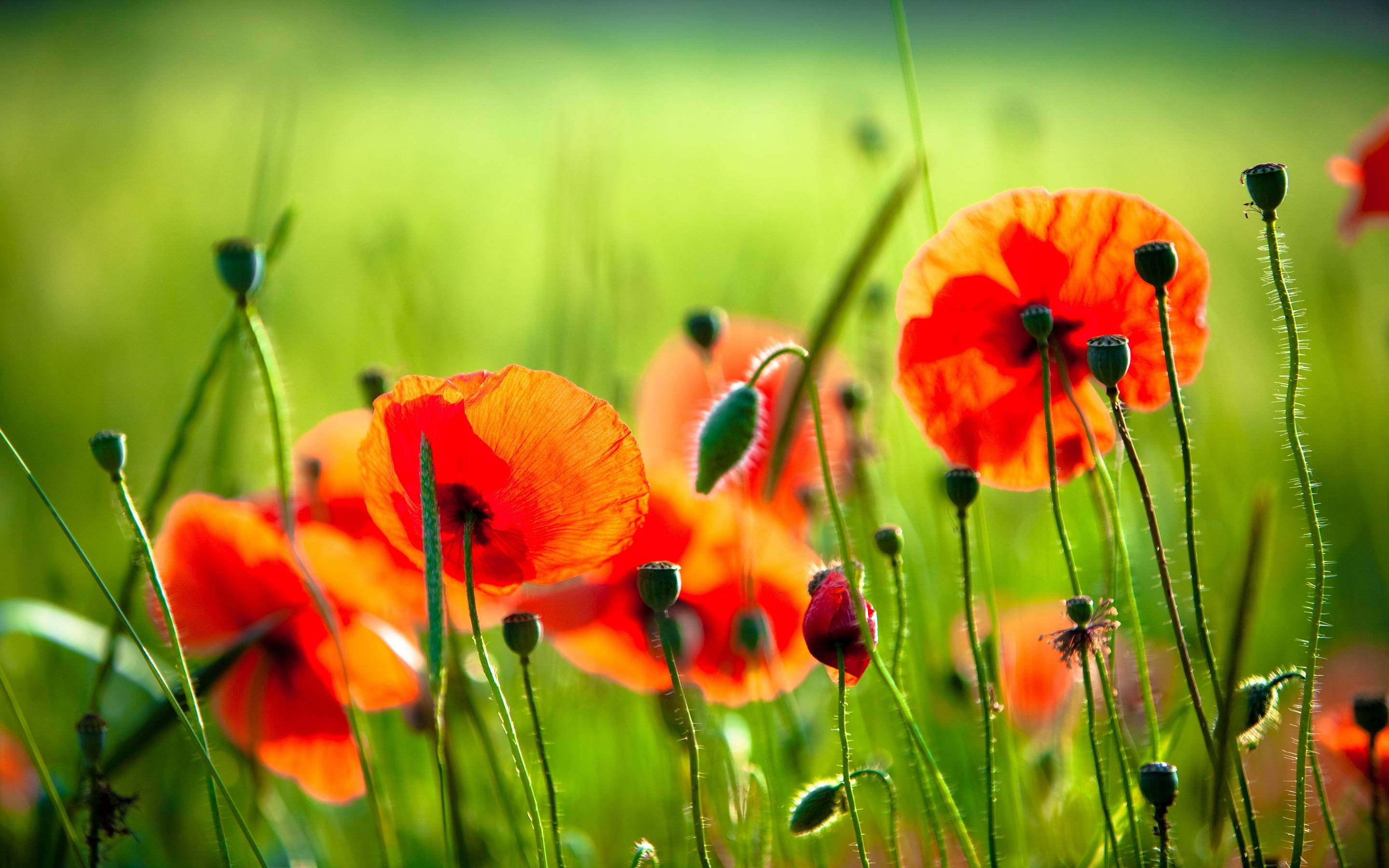 Red Poppy Wallpapers Wallpaper