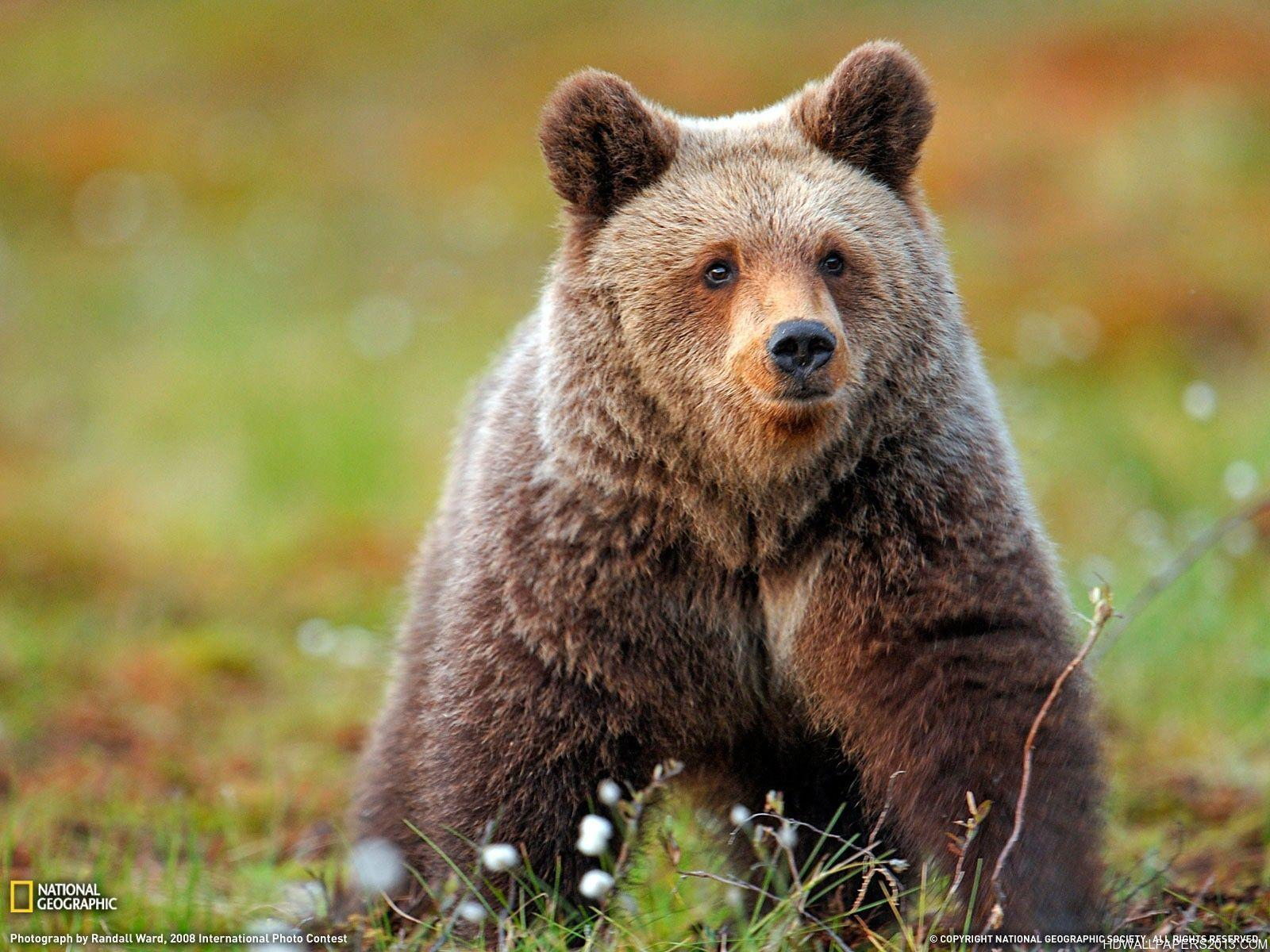 Grizzly Bear Wallpaper | High Definition Wallpapers, High ...
