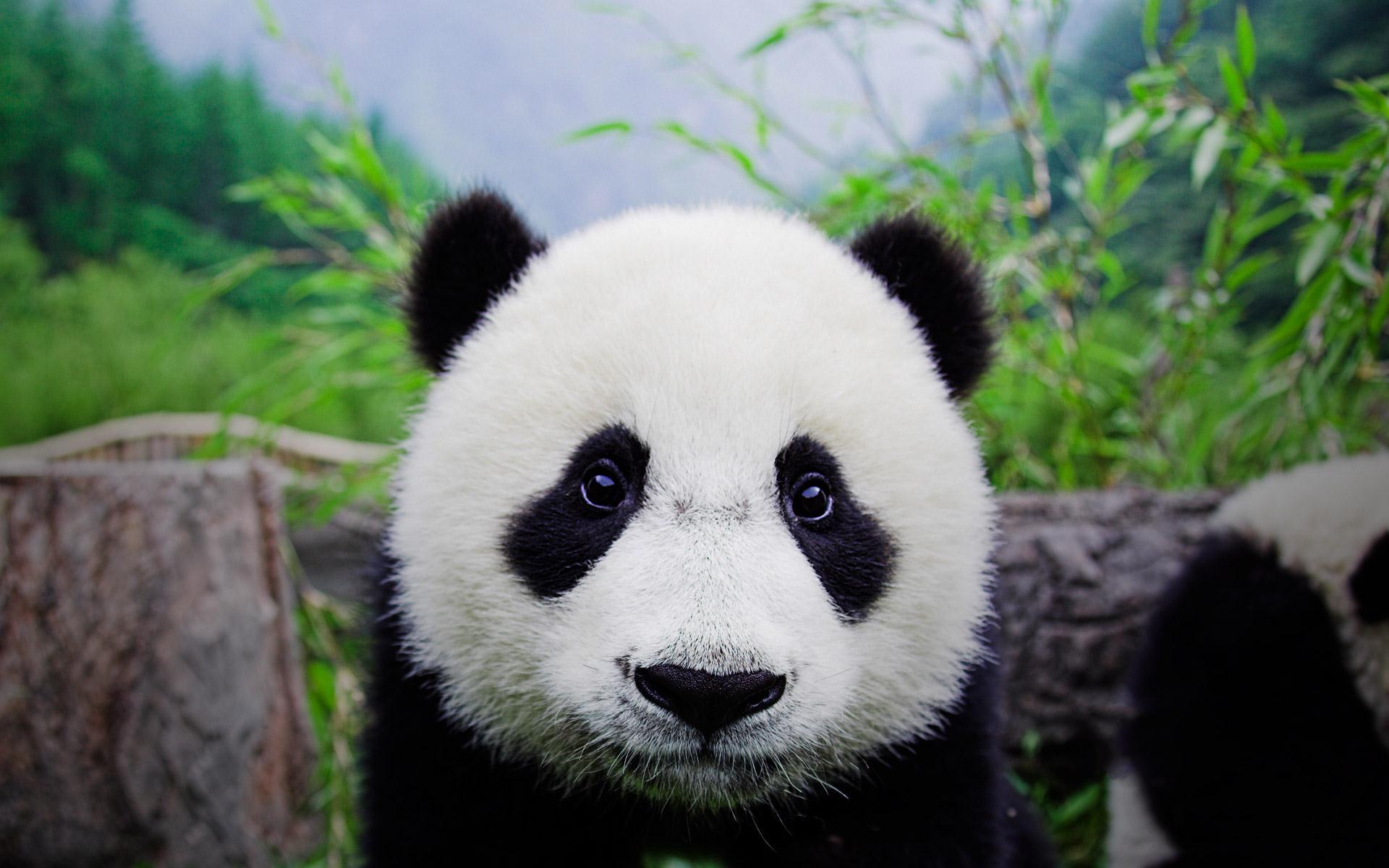 Panda Bear Desktop Wallpapers - HD Wallpapers Inn