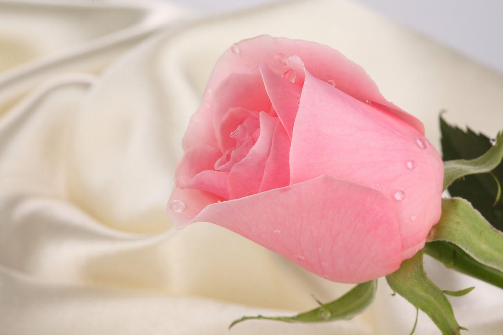 Beautiful Ping Rose Wallpaper Desktop Very Nice Enliven HD Wallpa