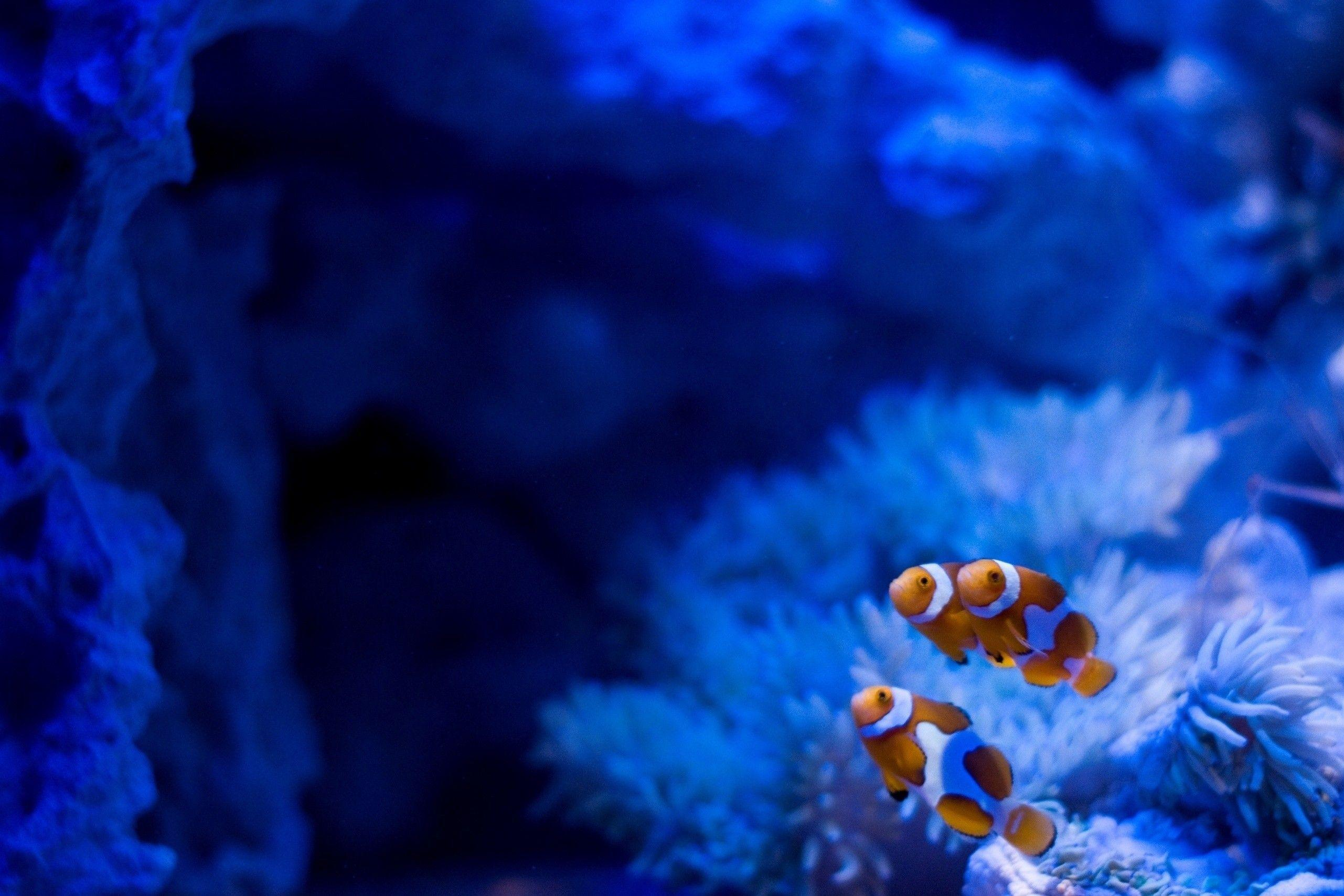 Wallpapers For > Underwater Clown Fish Wallpapers