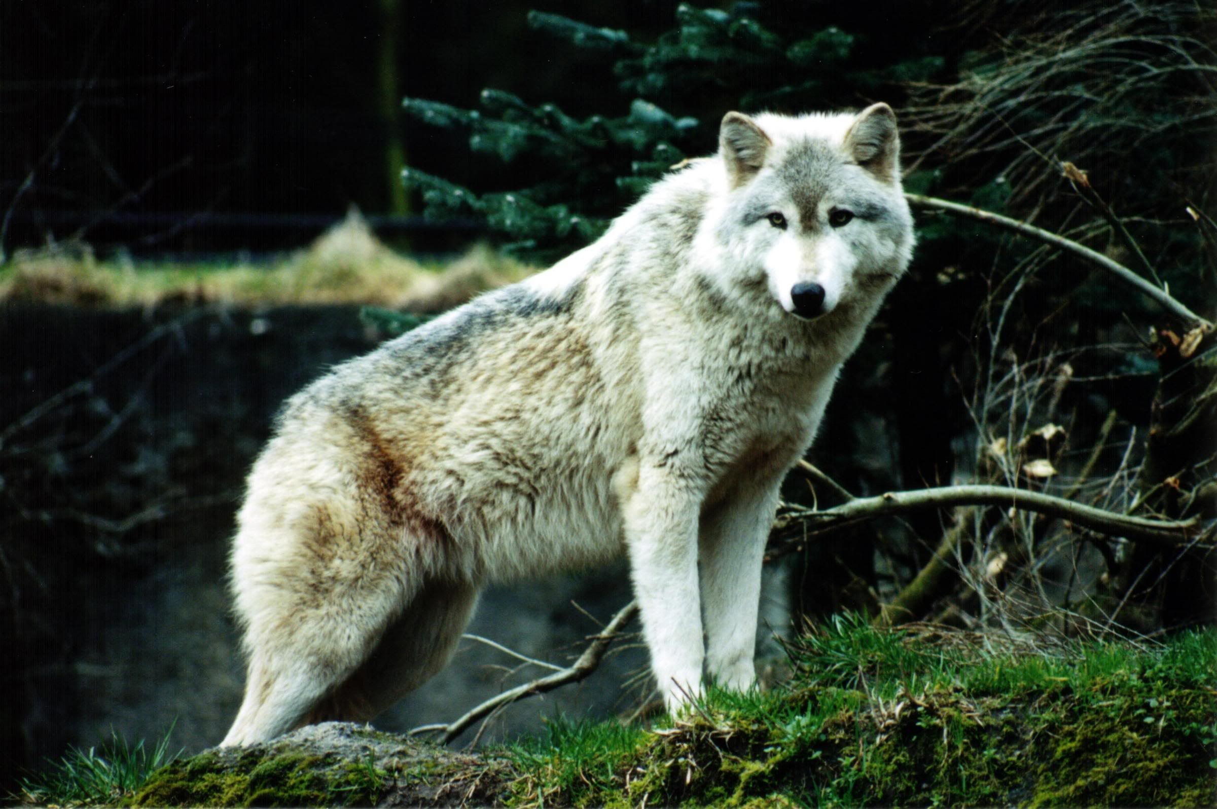 Wallpapers For > White Wolf Wallpapers Hd