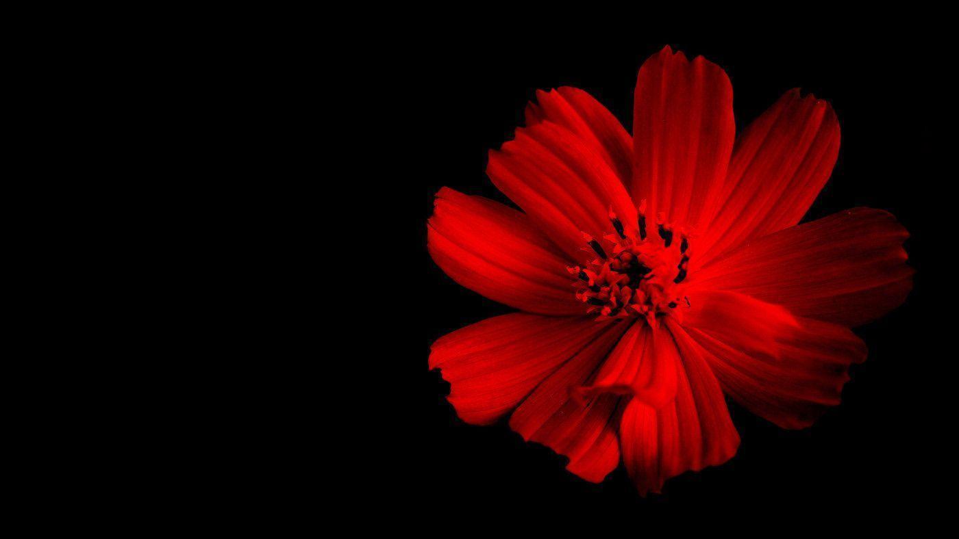 Red Flower Black Backgrounds