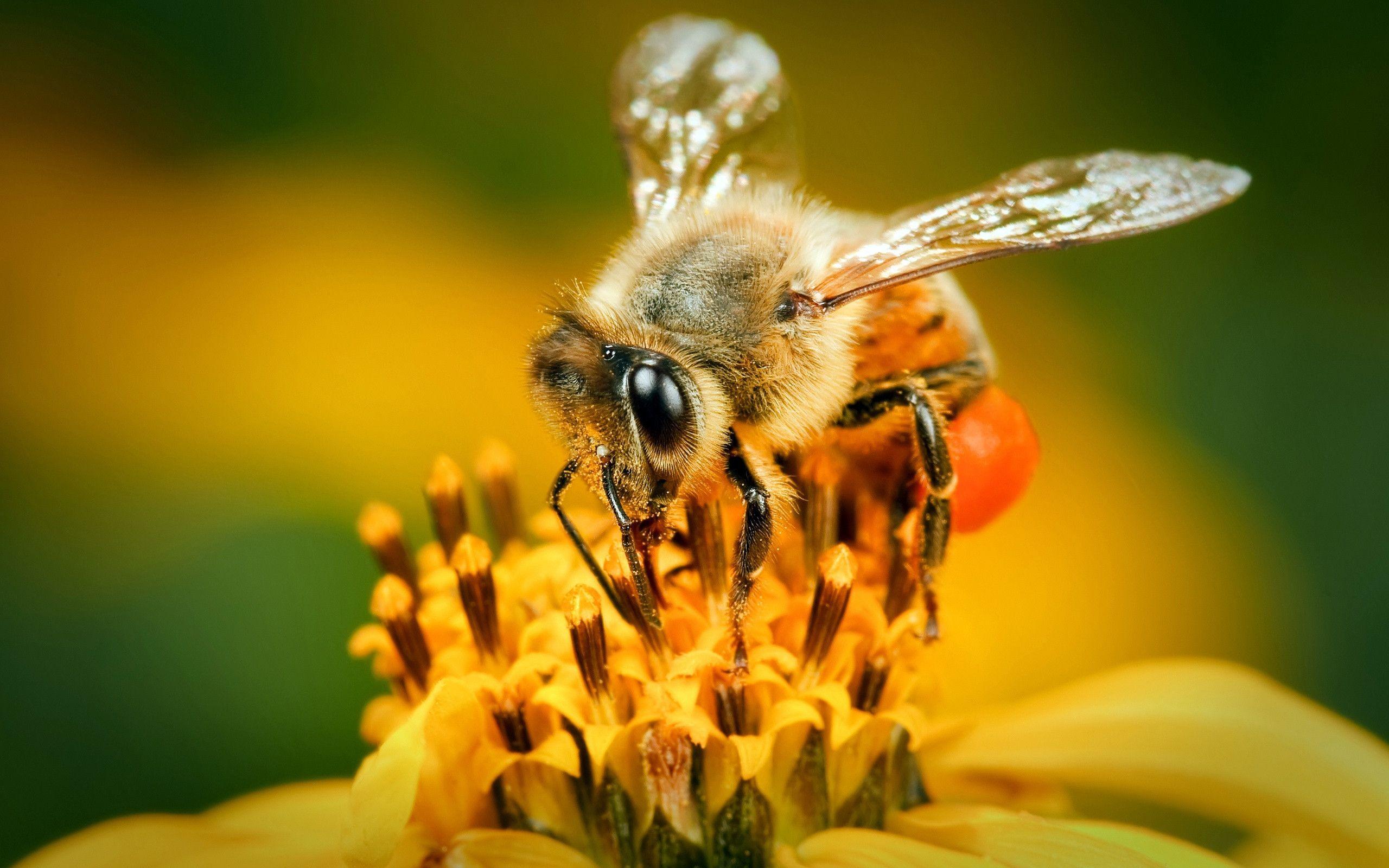 Bee wallpapers wallpaper cave - Bumblebee desktop wallpapers ...