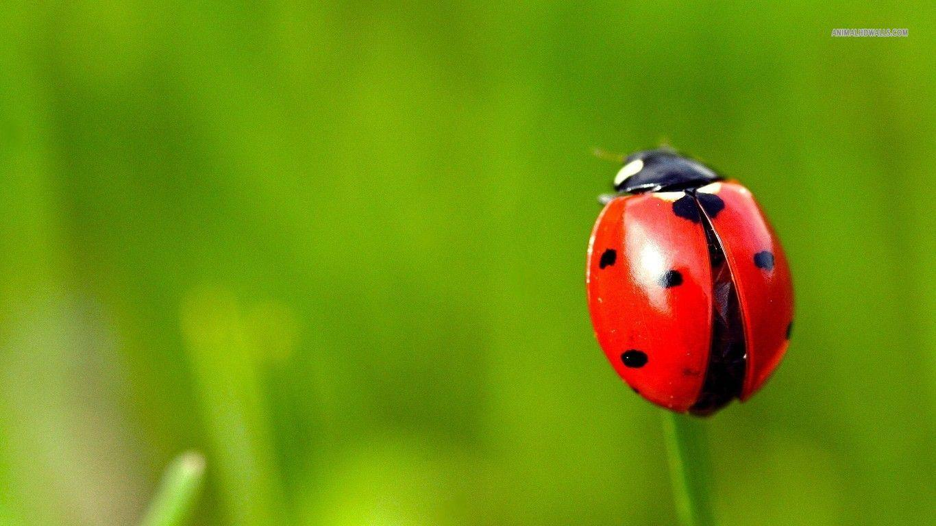 insects ladybirds desktop wallpapers - photo #7