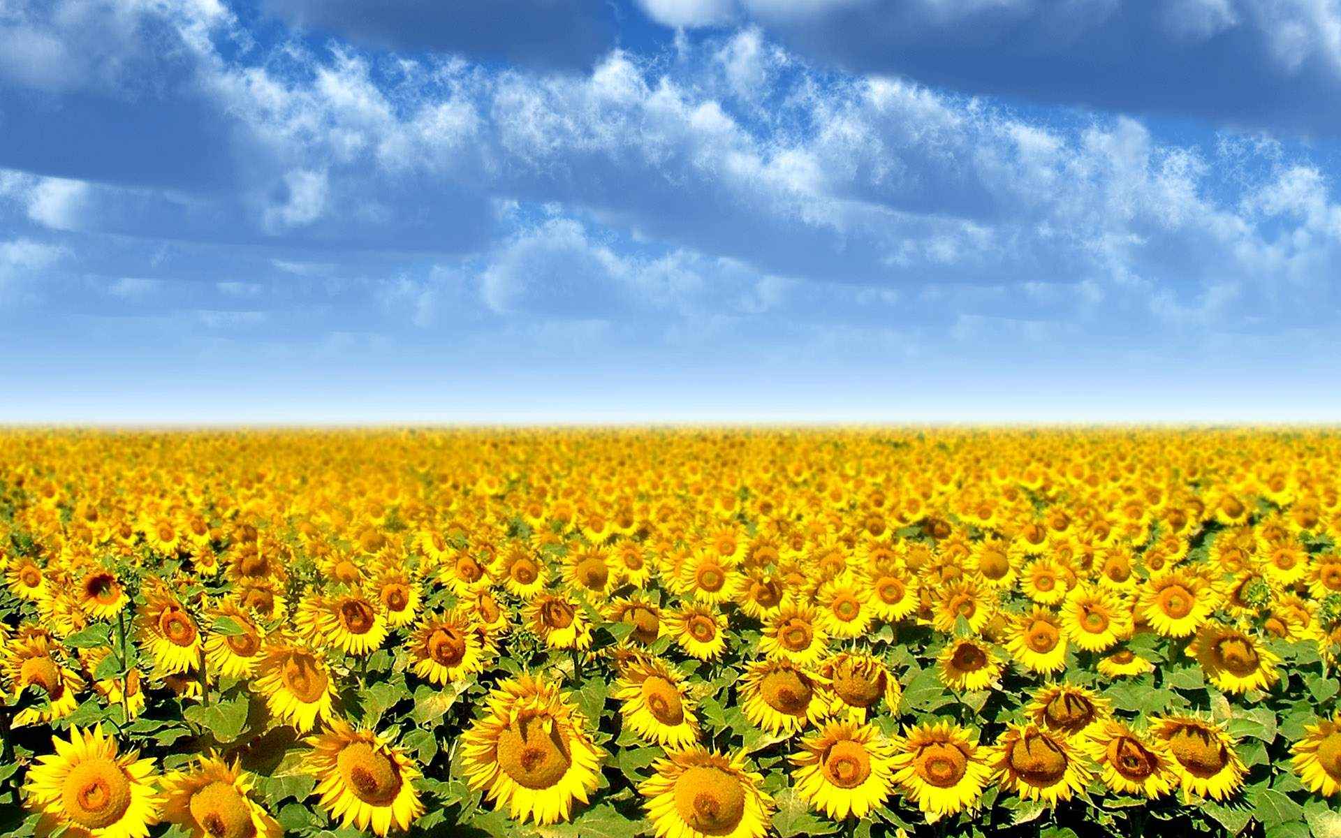Images For Field Of Sunflowers Wallpaper