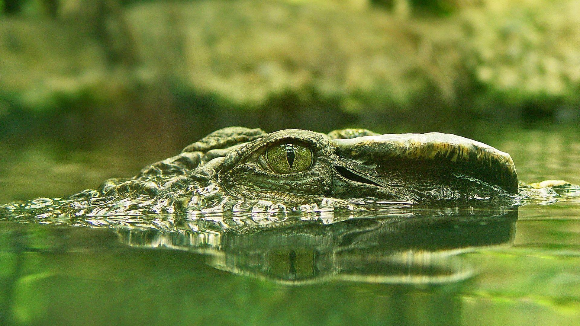Crocodile Wallpapers - Wallpaper Cave