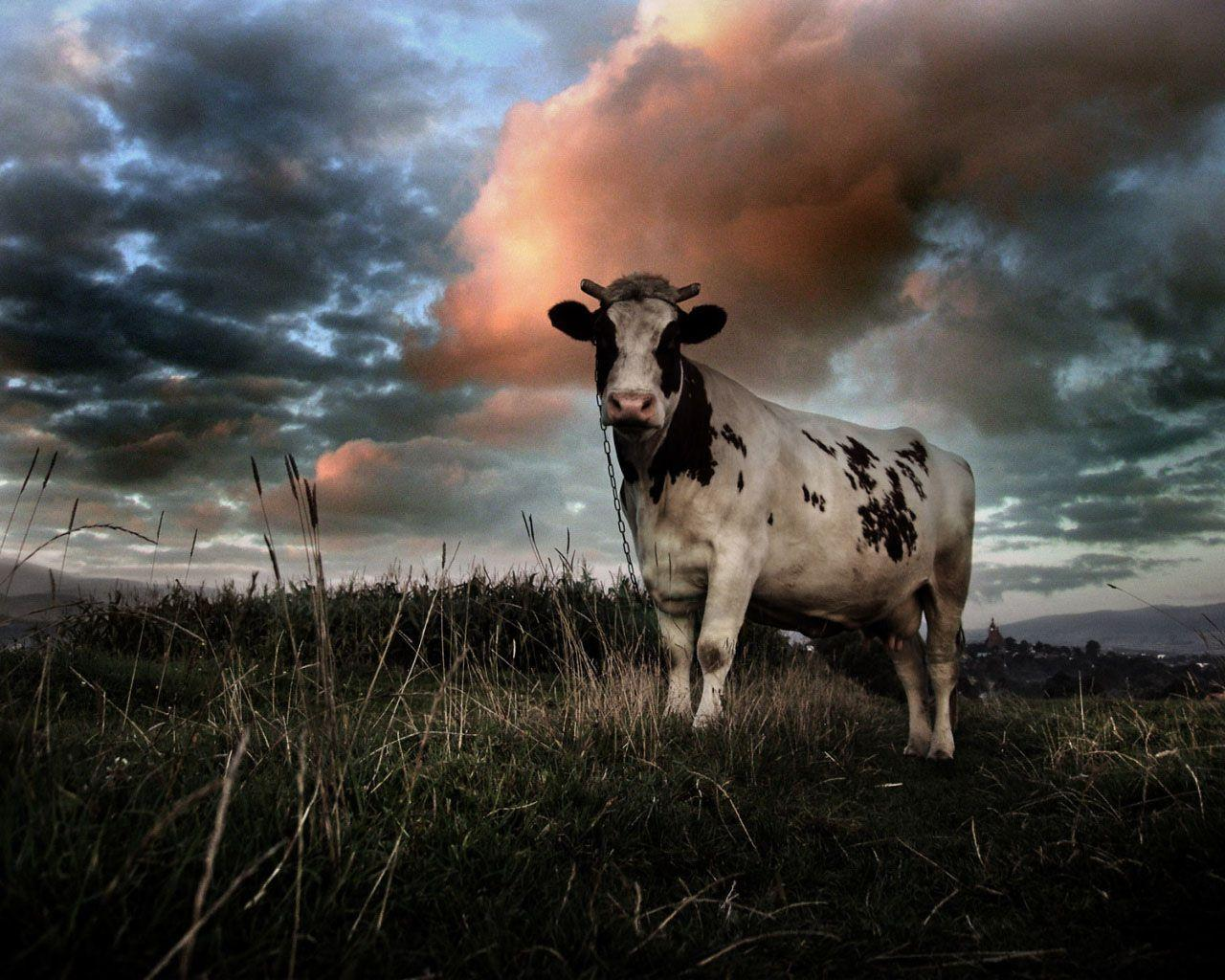 funny cow wallpaper - photo #1
