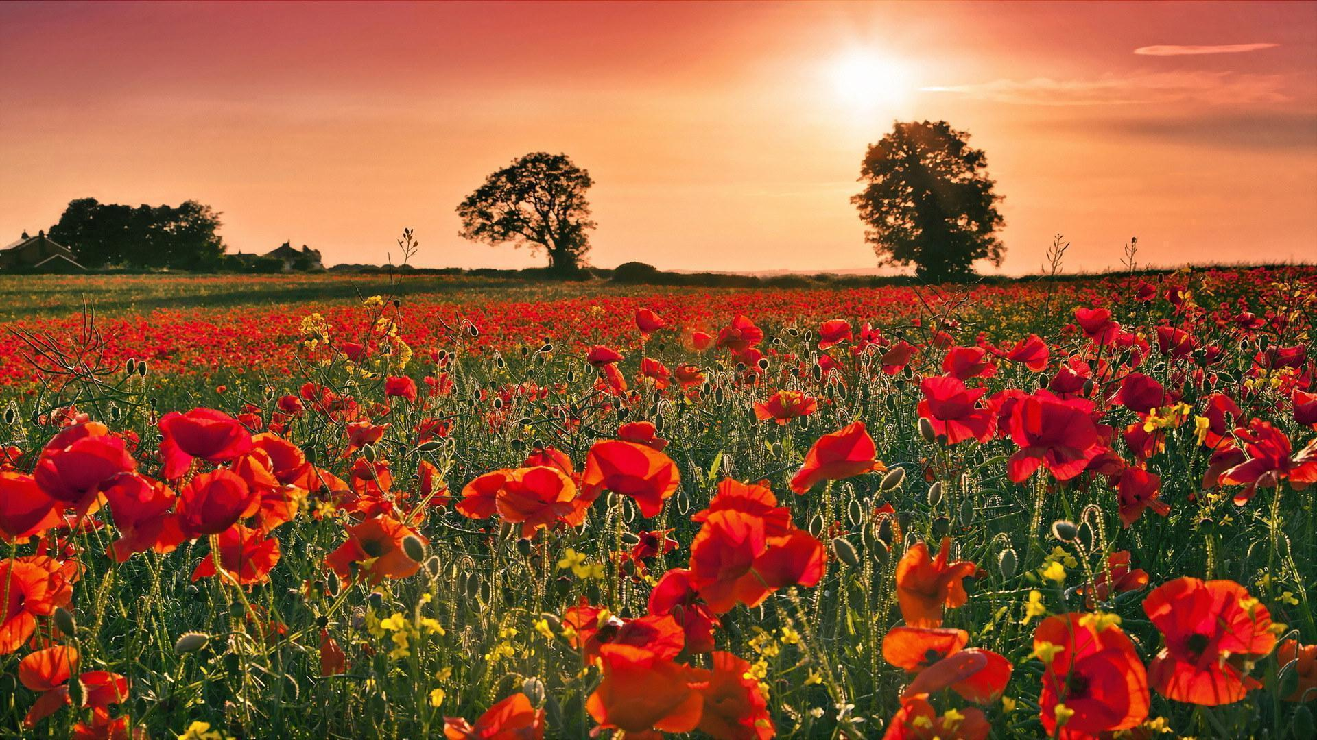 poppy backgrounds wallpaper cave