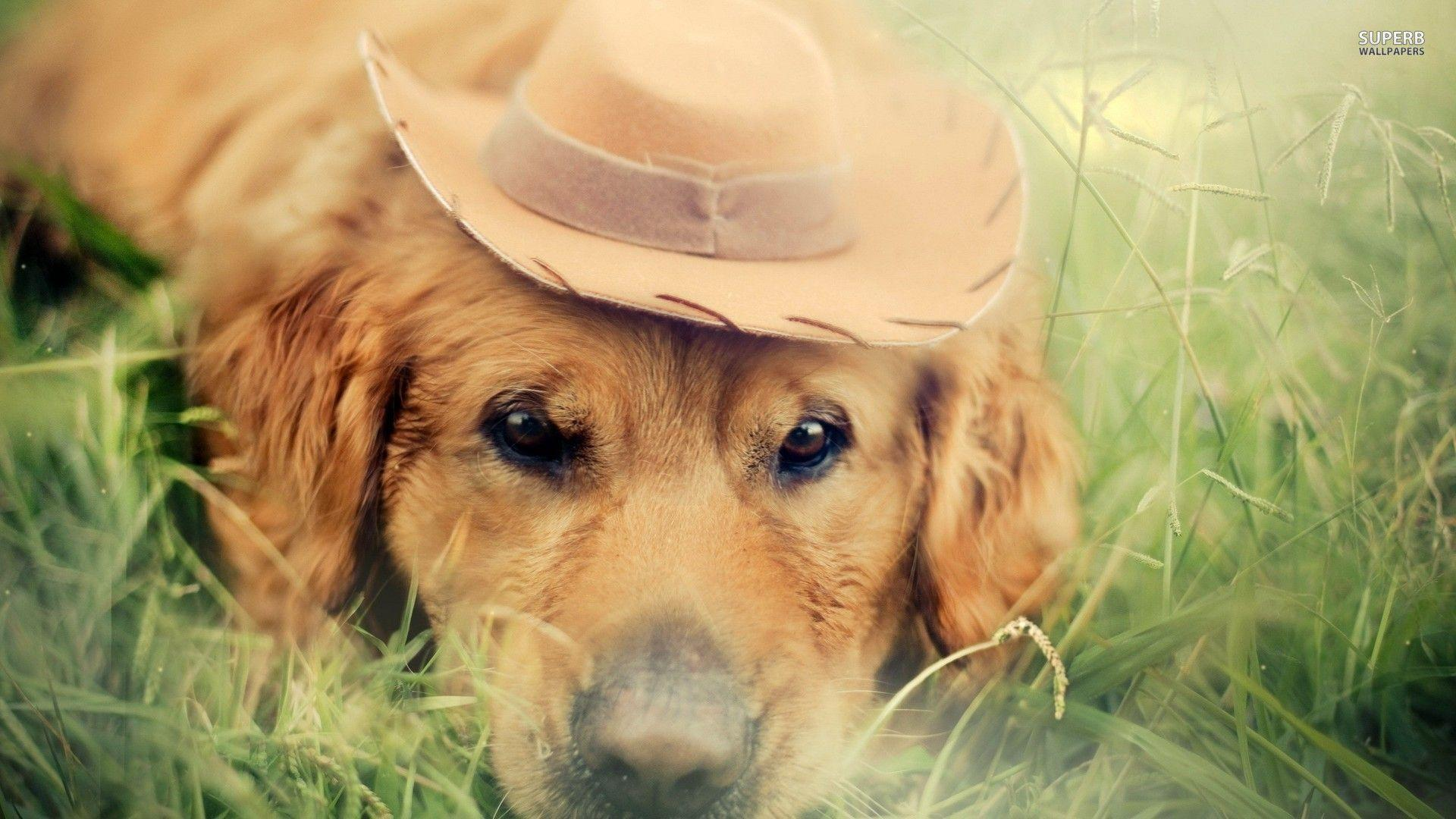 Golden retriever with a cowboy hat wallpaper - Animal wallpapers - #