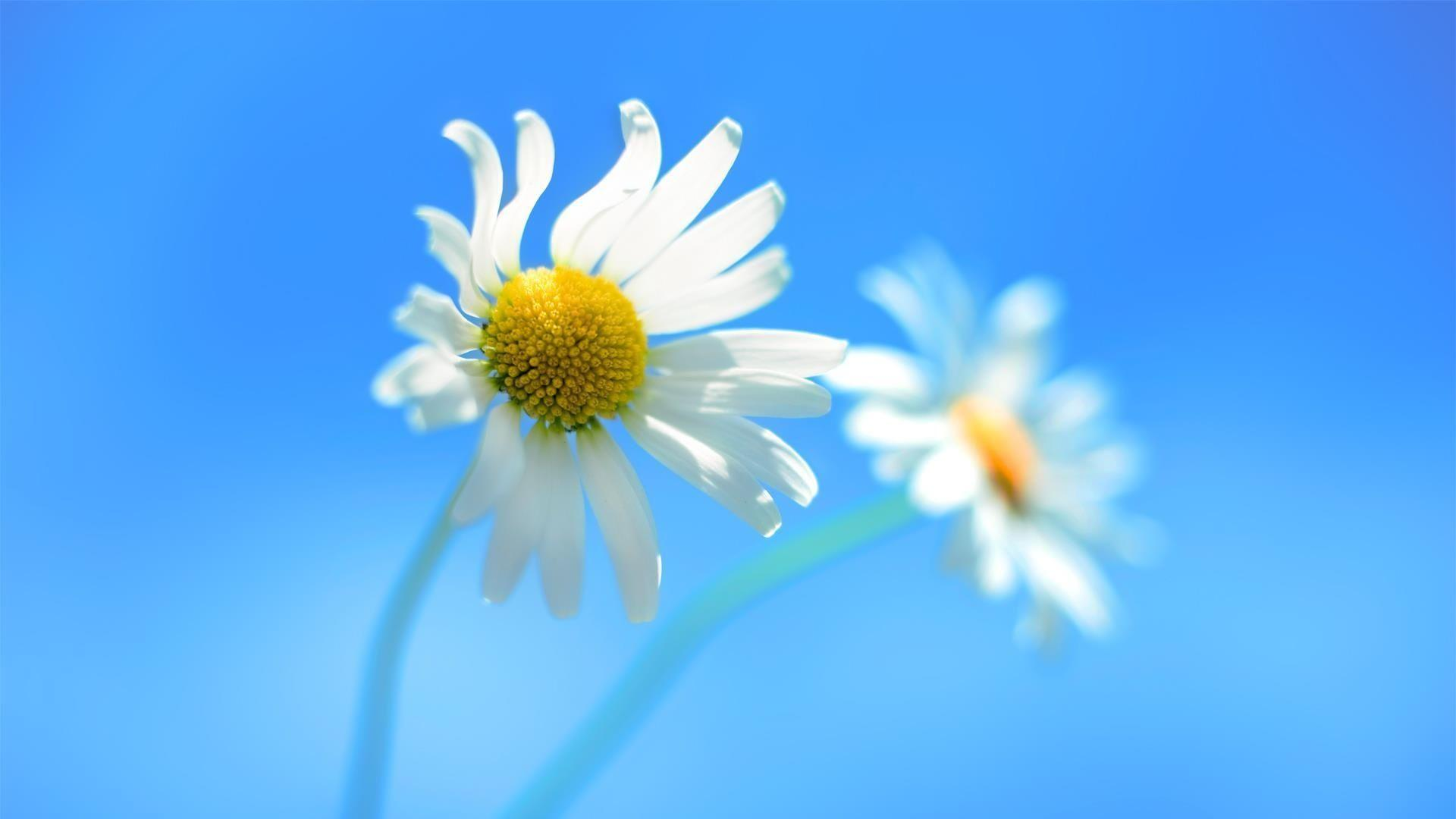 1920x1080 Daisy blue backgrounds Wallpapers
