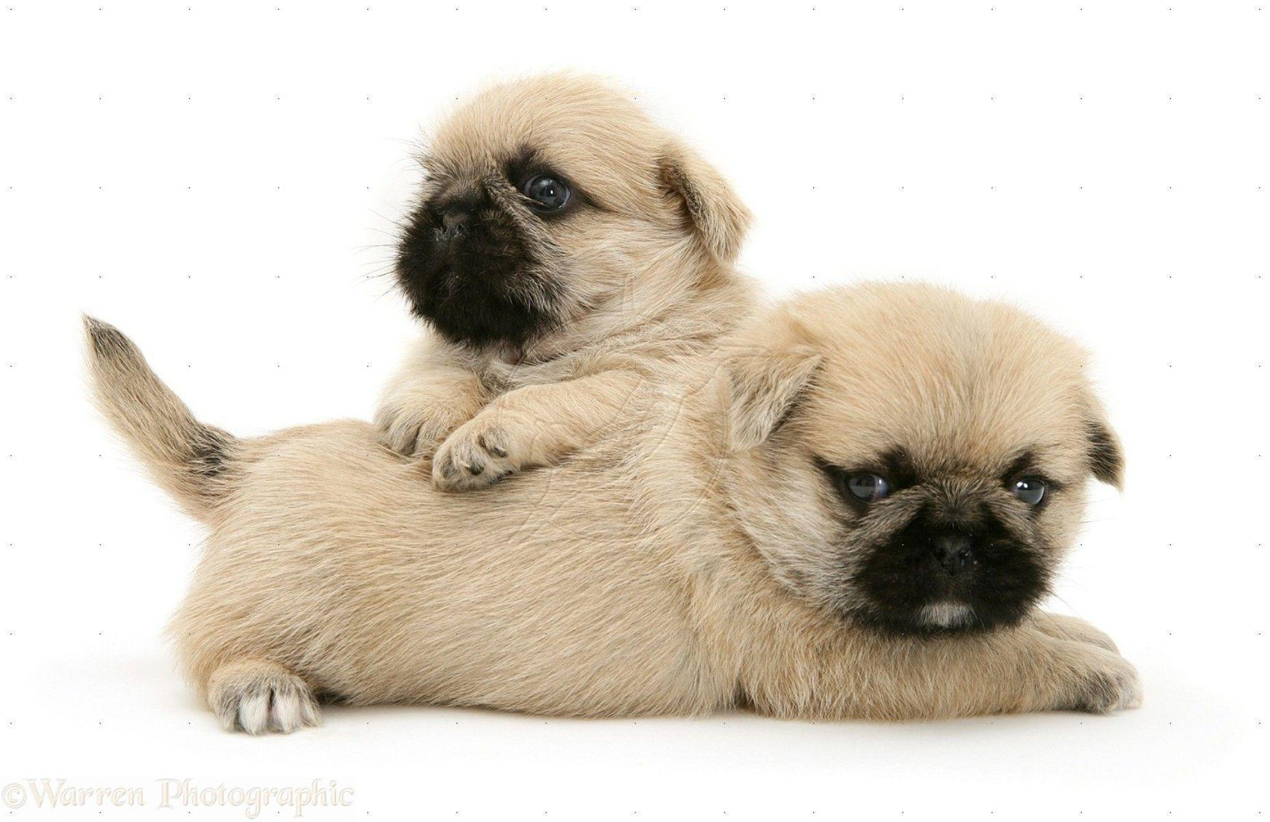 Pug Puppy Wallpapers Wallpaper Cave