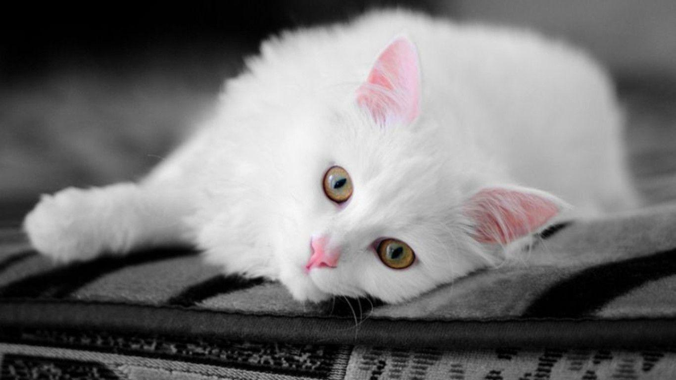 white cats wallpapers wallpaper cave