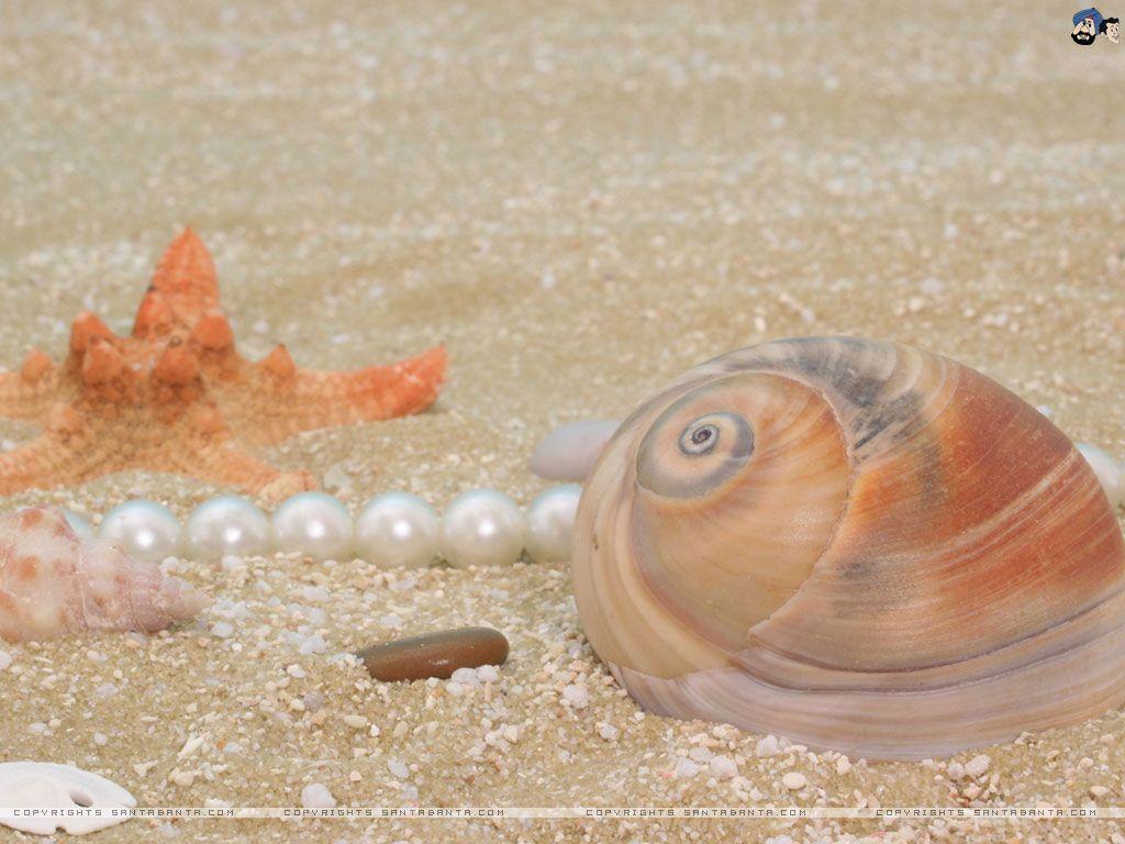 Seashells wallpaper 24 - Seashells Hd Wallpaper 24