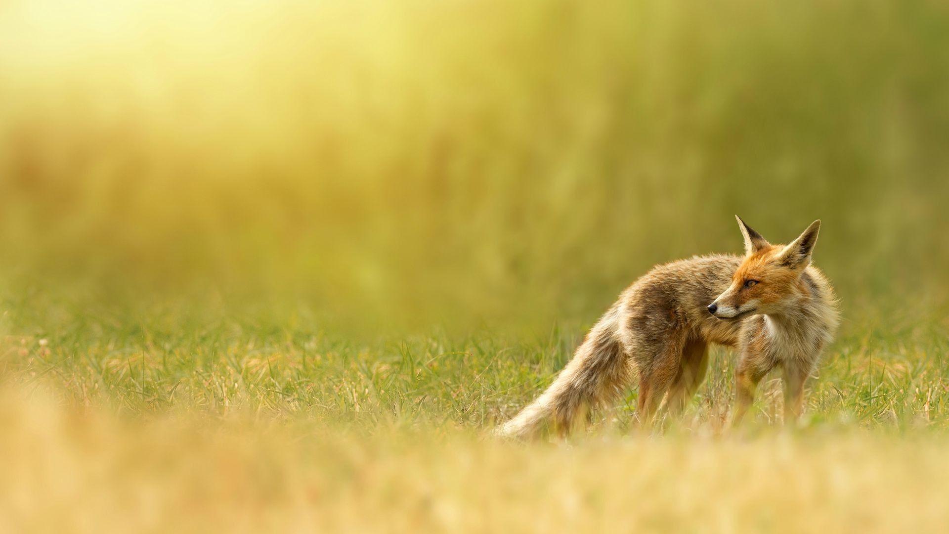 fox wallpapers, red fox, red, nature, grass | HD Desktop Wallpapers