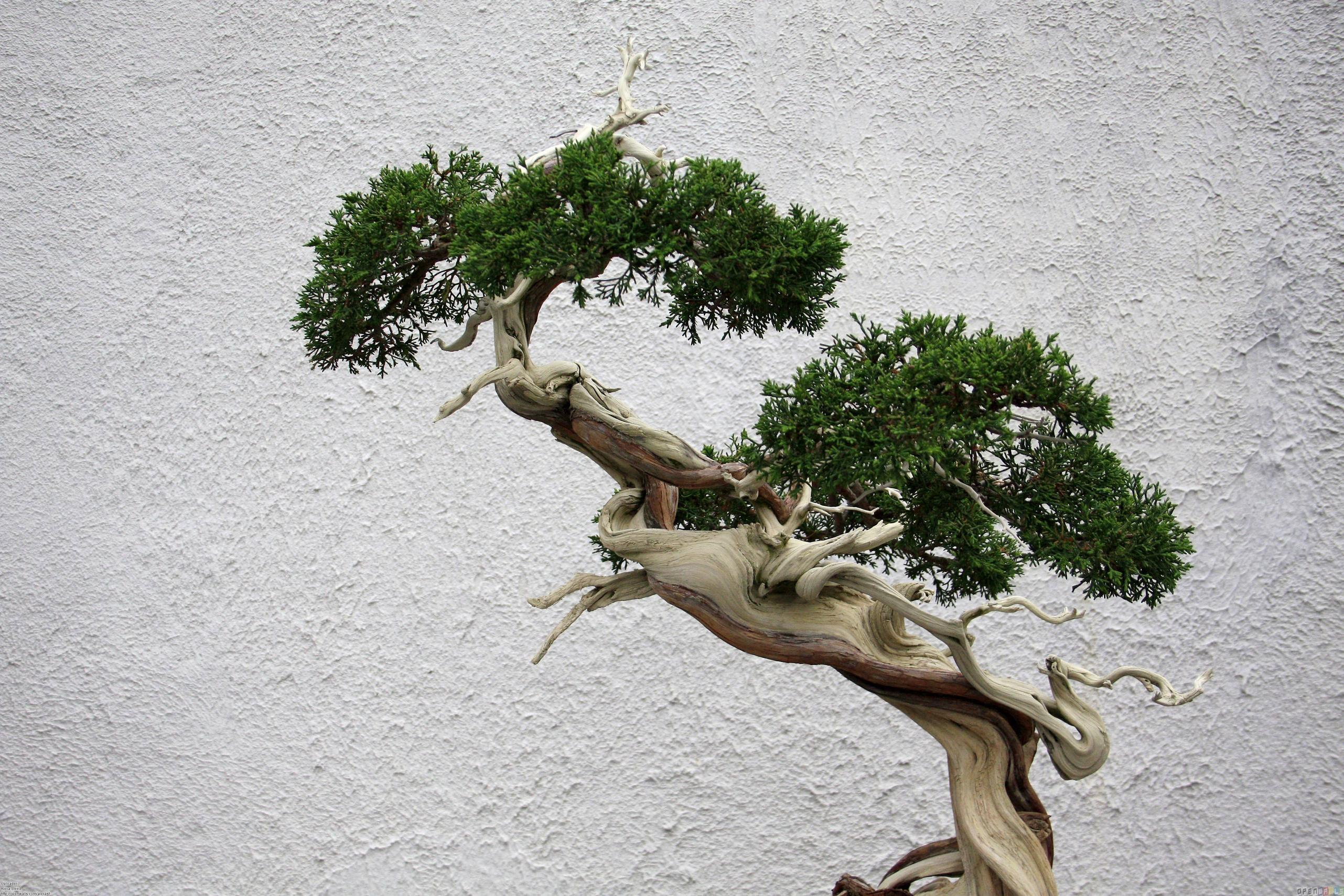 Bonsai Tree Wallpapers and Background
