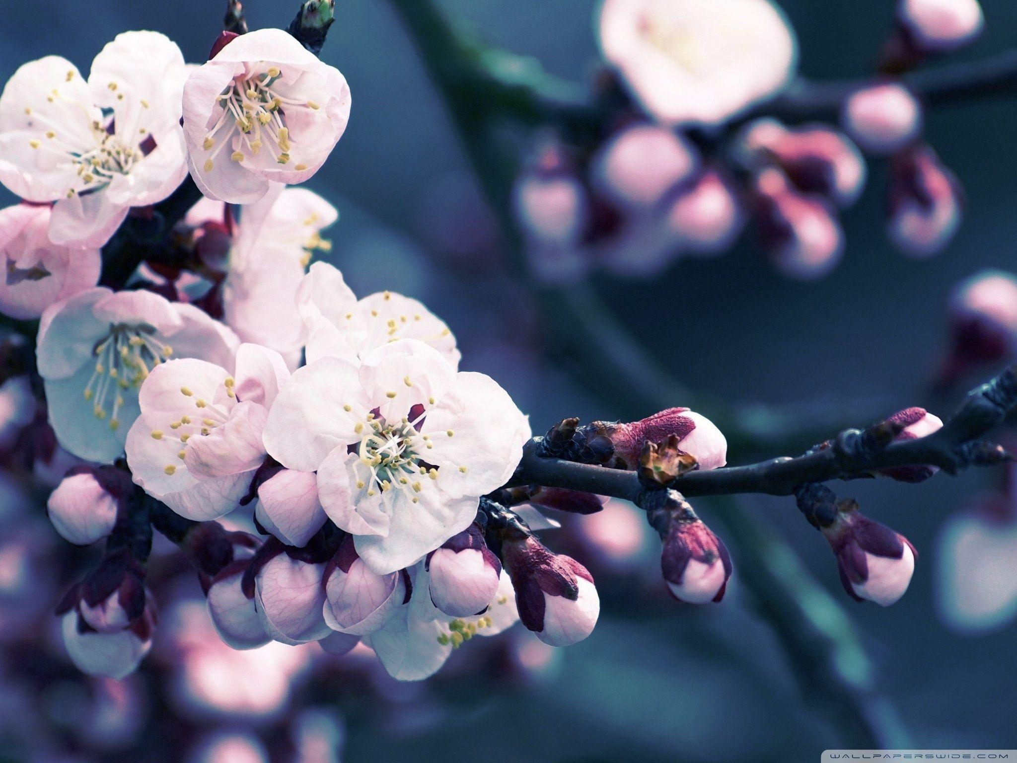 hd cherry blossom backgrounds - photo #25
