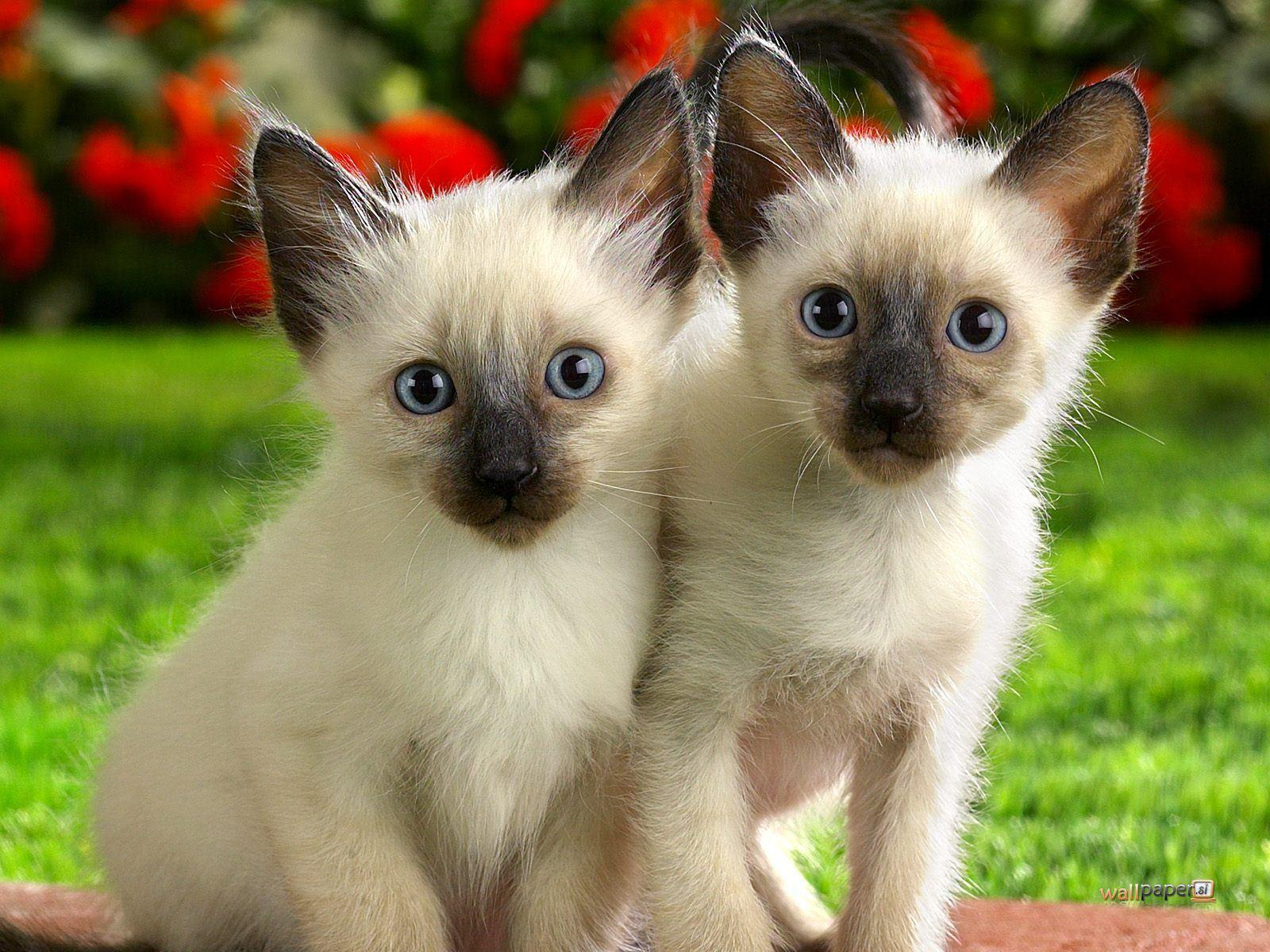 Siamese Kitten Wallpapers Wallpaper Cave