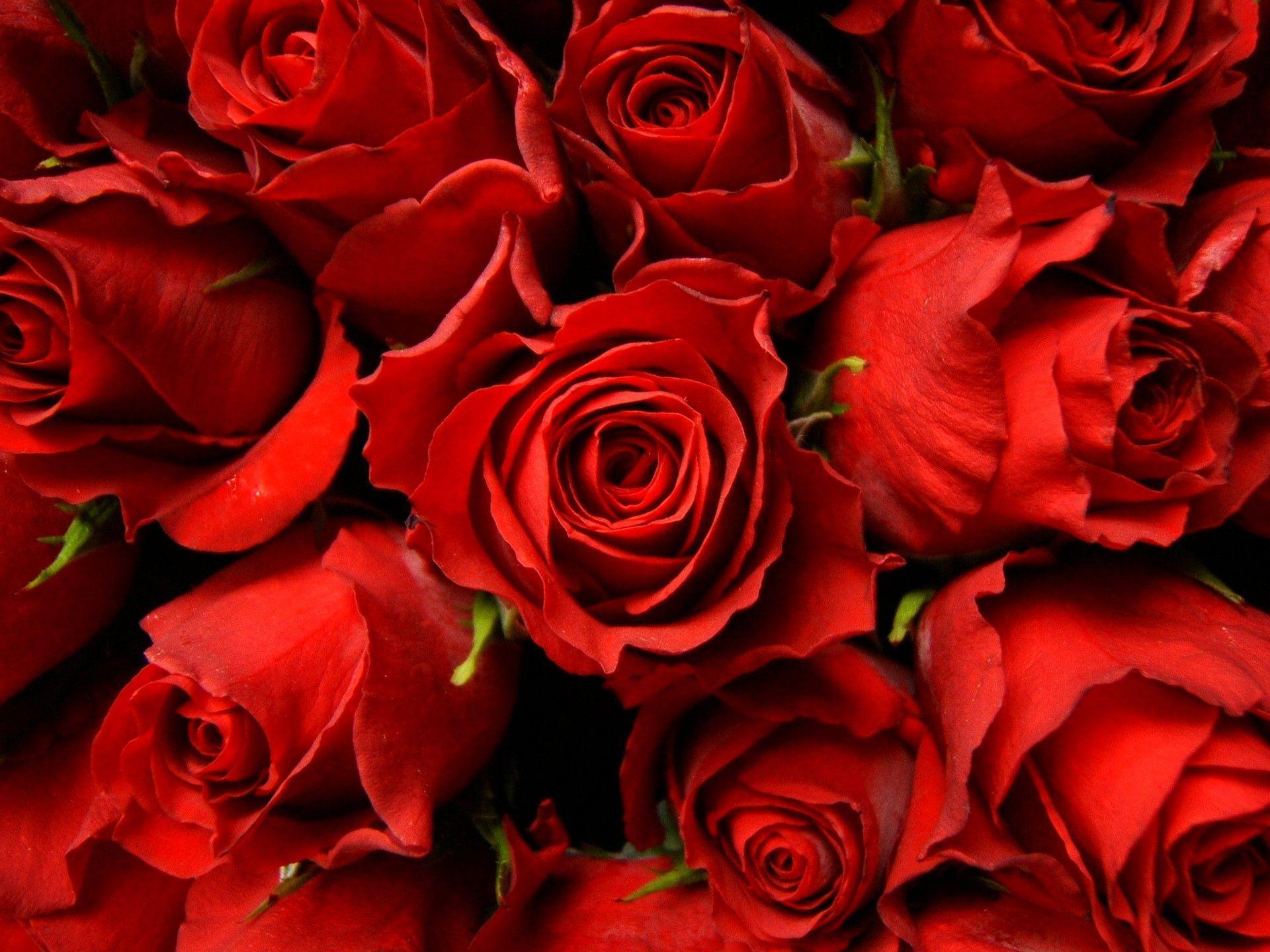 red rose desktop background - photo #4